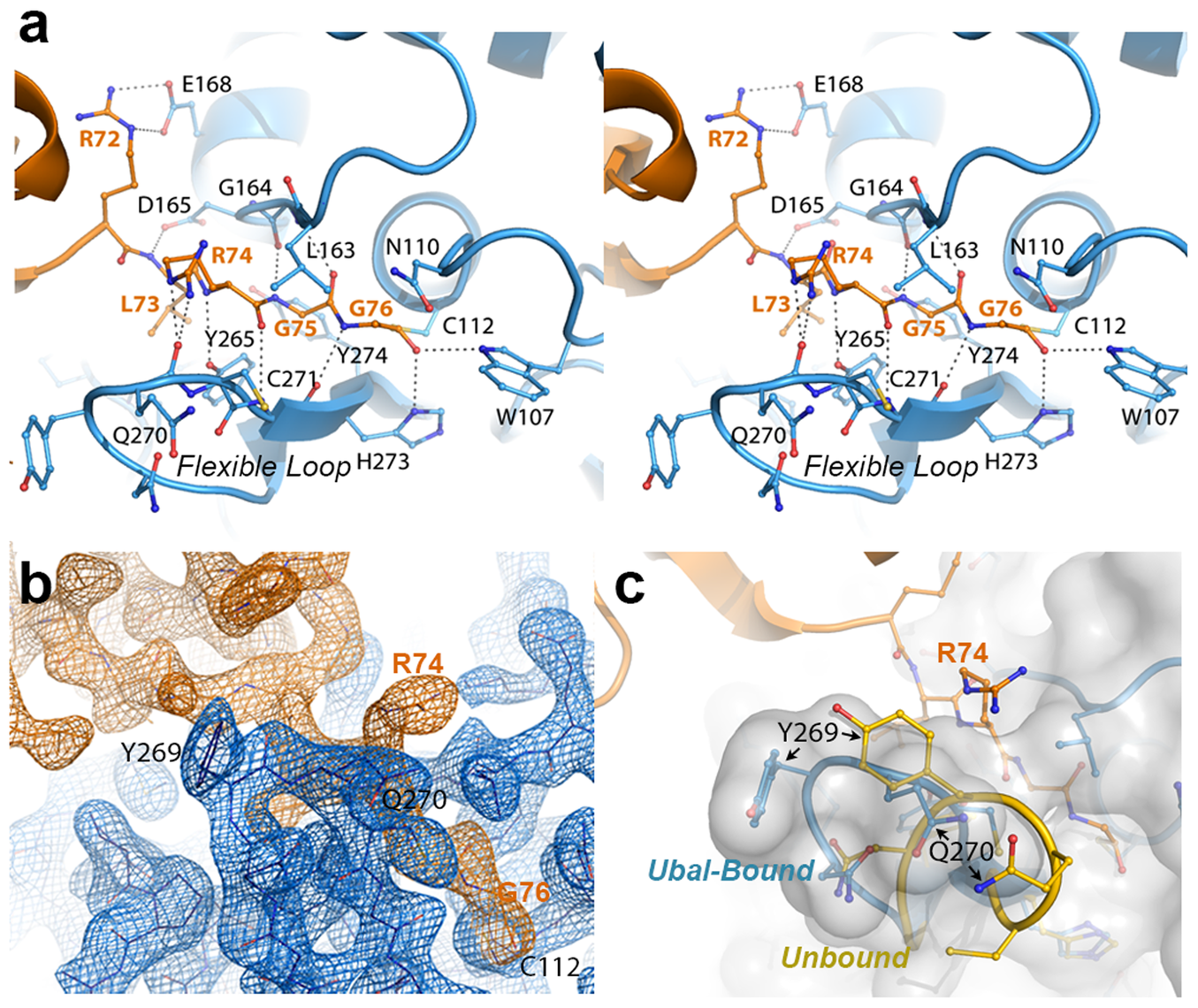 The crystal structure of the PLpro-Ubal complex reveals a dense hydrogen-bonding pattern between the active site of PLpro and the C-terminus of ubiquitin.