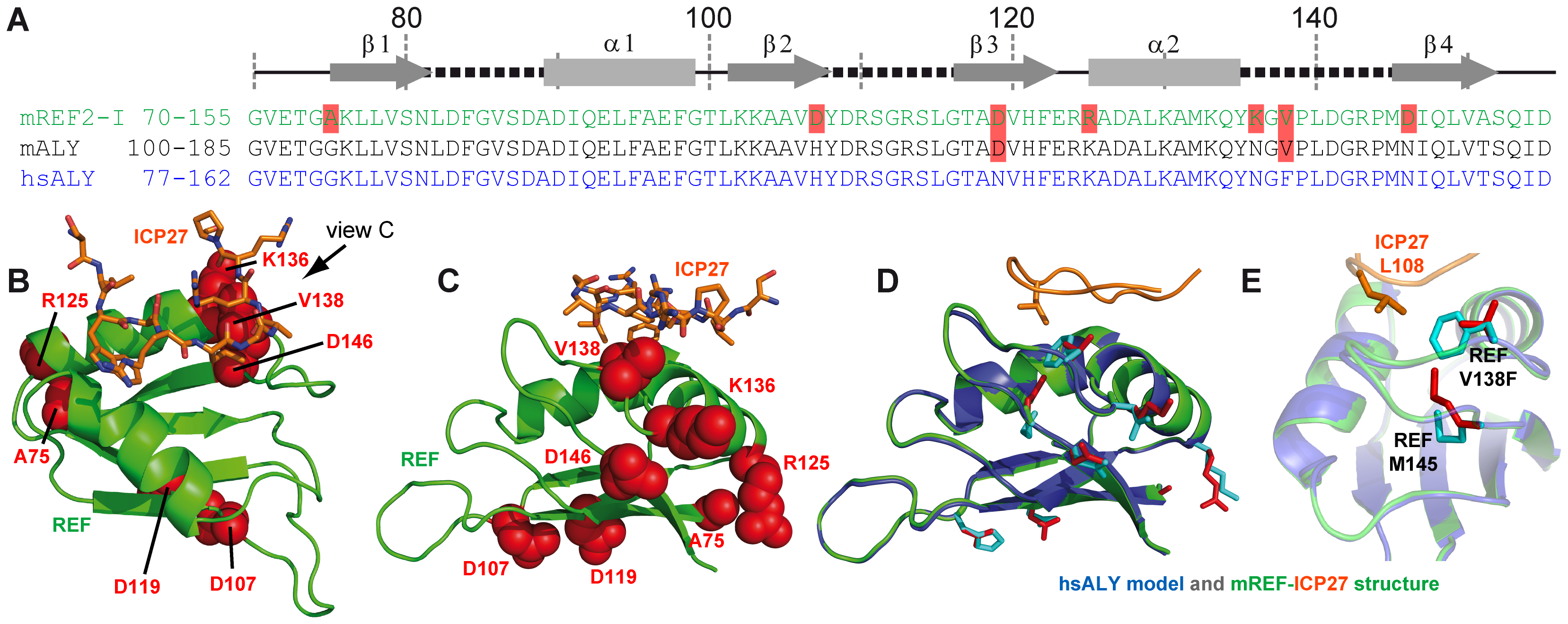 Modelling of complex between human Aly and HSV-ICP27.