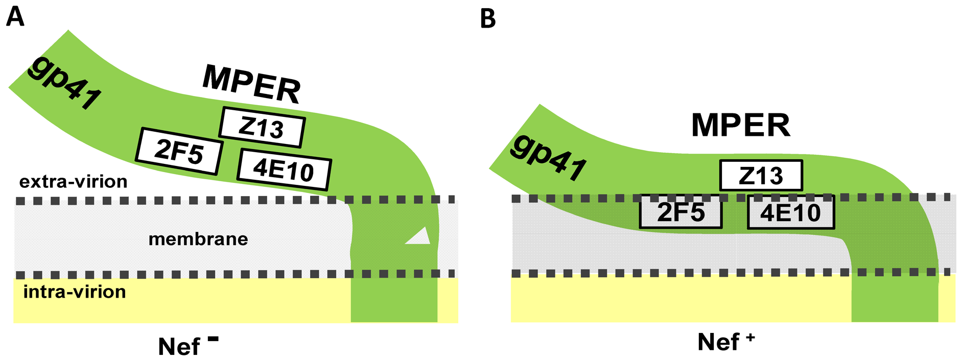 Model depicting the possible mechanism by which Nef specifically alters the accessibility of 2F5 and 4E10 MPER epitopes to nAbs.