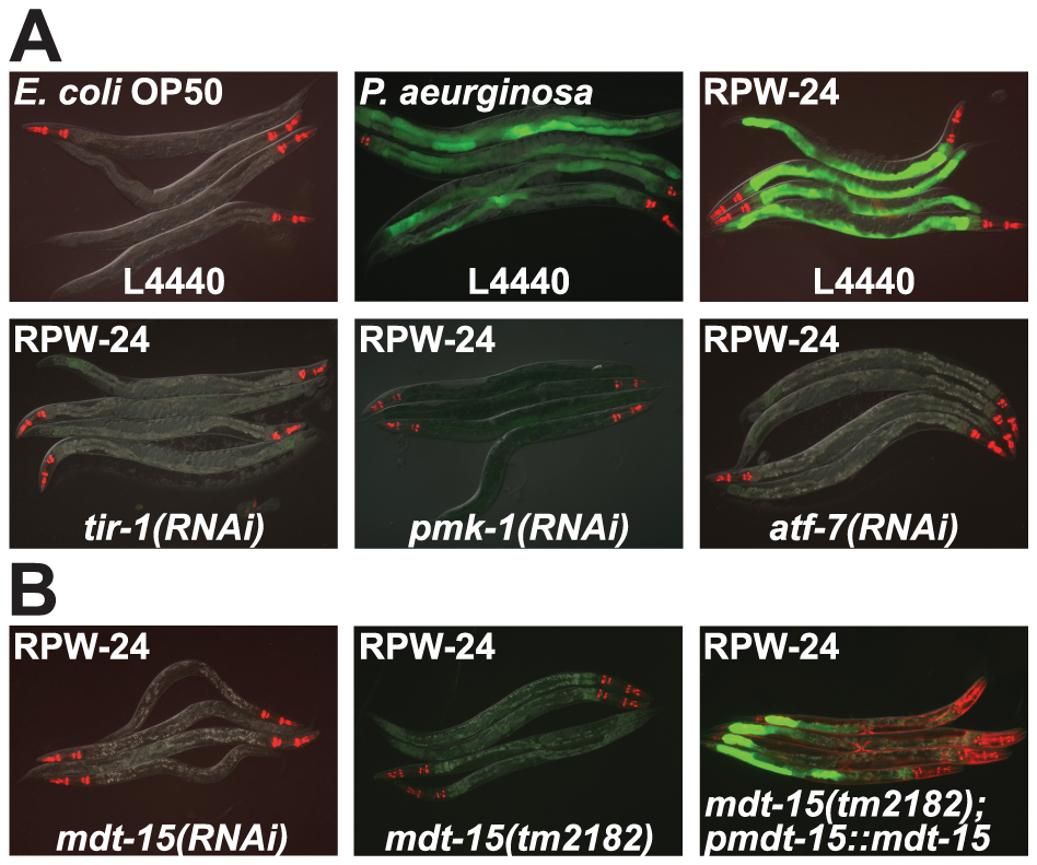 RNAi screen identifies a role for the <i>C. elegans</i> Mediator subunit MDT-15 in regulating the induction of the p38 MAP kinase PMK-1-dependent immune reporter <i>pF08G5.6::GFP</i>.