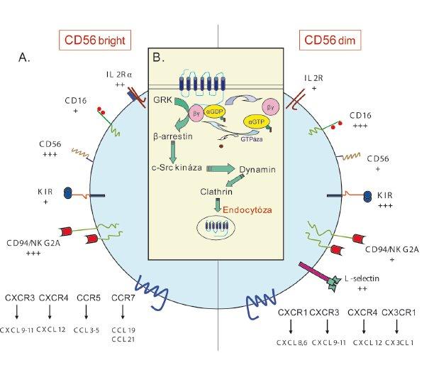 Membránové molekuly, aktivace a deaktivace receptoru NK buněk. A – Hlavní rozdíly exprese povrchových receptorů u NK bright a NK dim. Míra exprese membránových molekul je vyznačena pomocí znaménka +. B – Po stimulaci receptoru dochází ke konformačním změnám receptoru, které umožní změnu GDP na GTP vedoucí k disociaci βγ podjednotky s α podjednotkou. Existují dvě cesty, jak docílit deaktivace receptorů. První je pomocí GTPázy urychlení hydrolýzy αGTP na αGDP. Druhou možností je zapojení G-protein-coupled-receptor kinázy (GRK), která je po navázání na βγ podjednotku schopna fosforylace receptoru. Fosforylovaný receptor se dále váže s β-arestinem, nereceptorovou tyrozin kinázou c-Src a dyaminem, který usnadňuje endocytózu receptoru pomocí clatrinu.