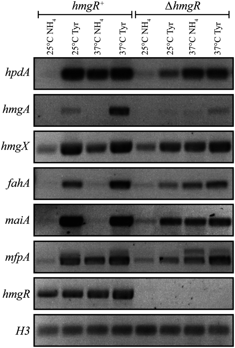 The tyrosine induced expression of genes of the catabolism cluster requires the HmgR transcription factor.