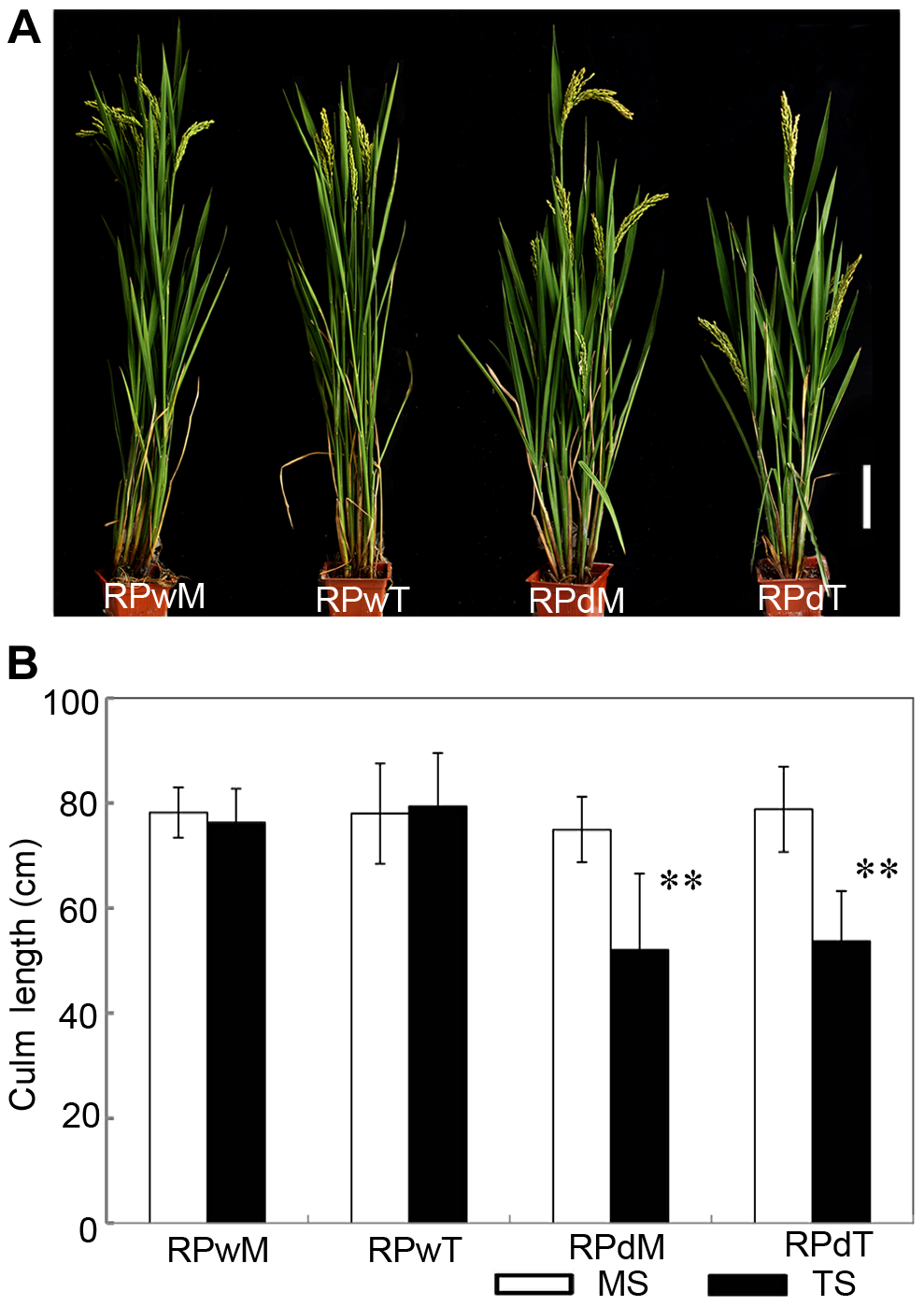 The replanted main shoot and tiller of <i>dwt1</i> reproduce the main-shoot-dominance phenotype.