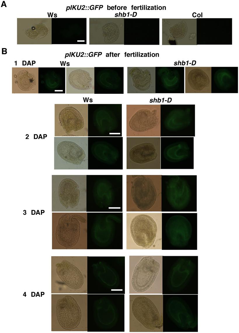 SHB1 regulates the expression of <i>pIKU2::GFP</i>.