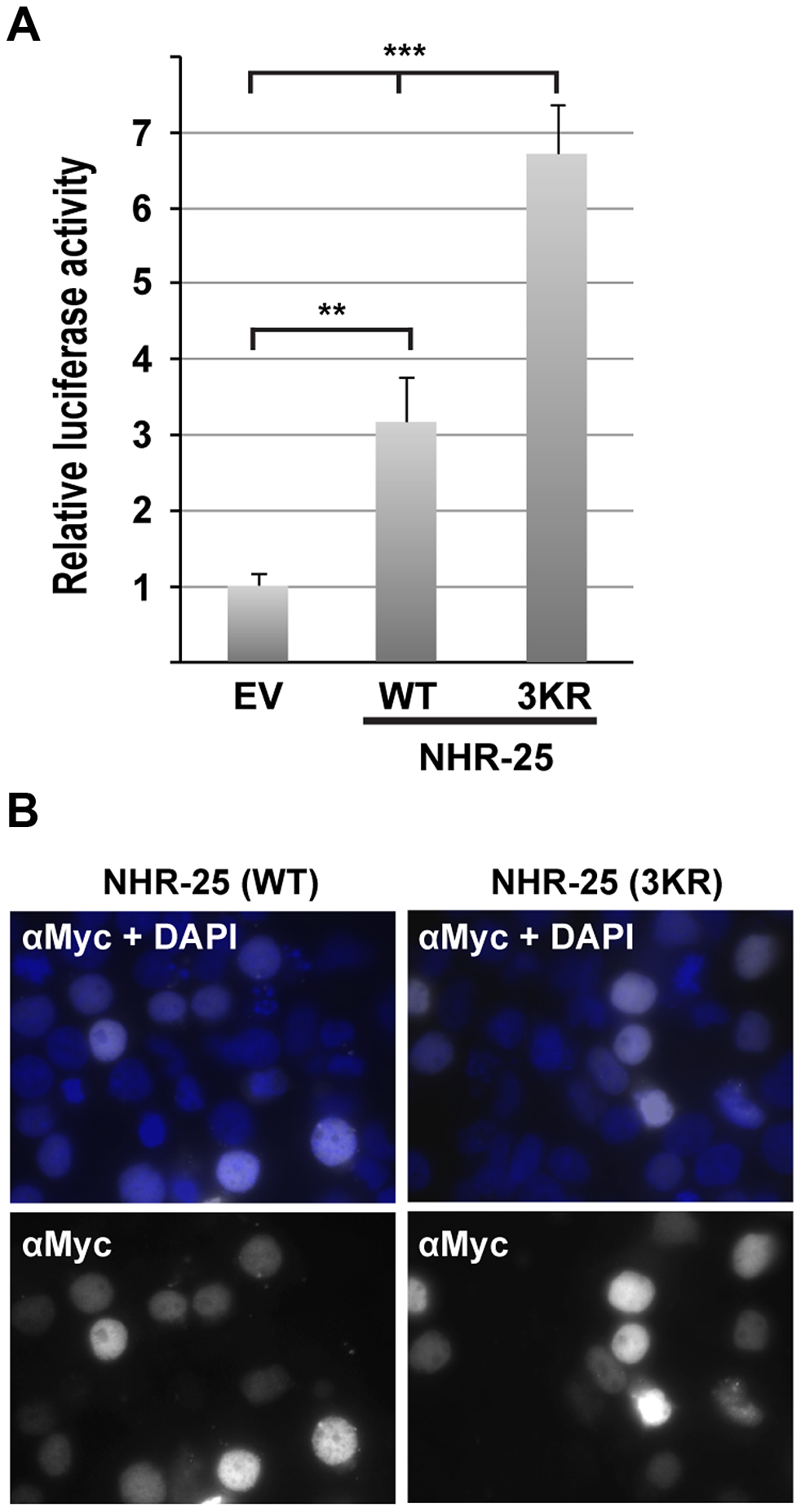 NHR-25(3KR) displays elevated activity in heterologous reporter assays.