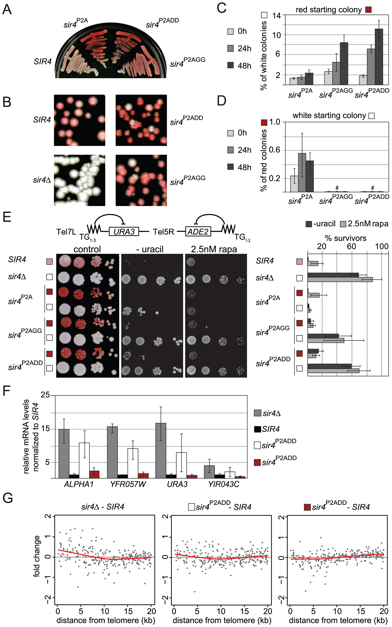 Sir4N phosphoacceptor site mutants show increased accumulation of active states and overall derepression of TPE.