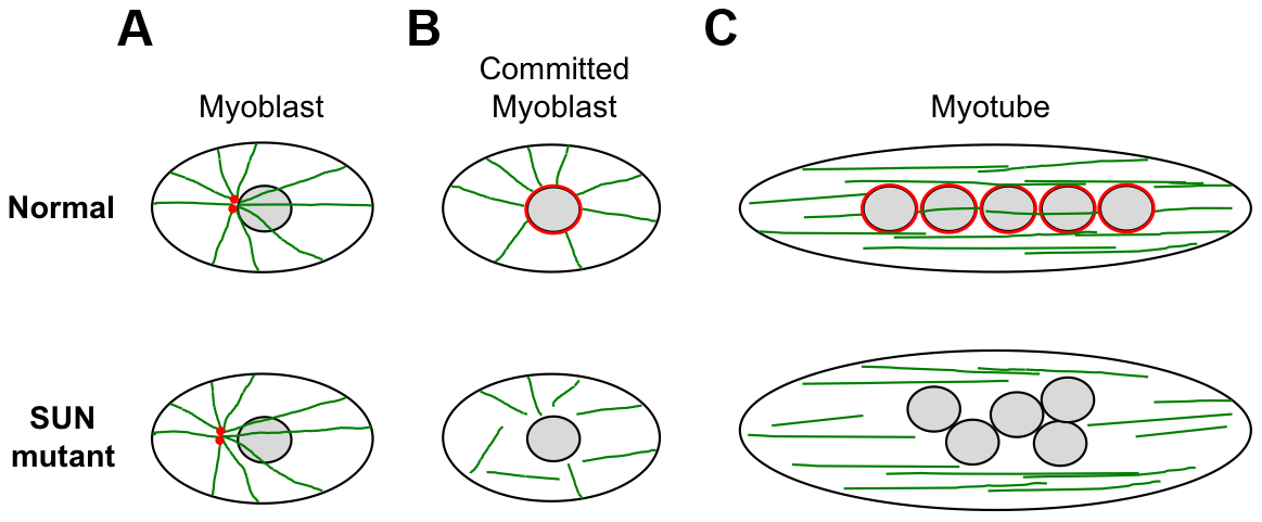 Schematic model of nuclear positioning and microtubule connections during differentiation of normal and SUN1/2 mutant myoblasts.