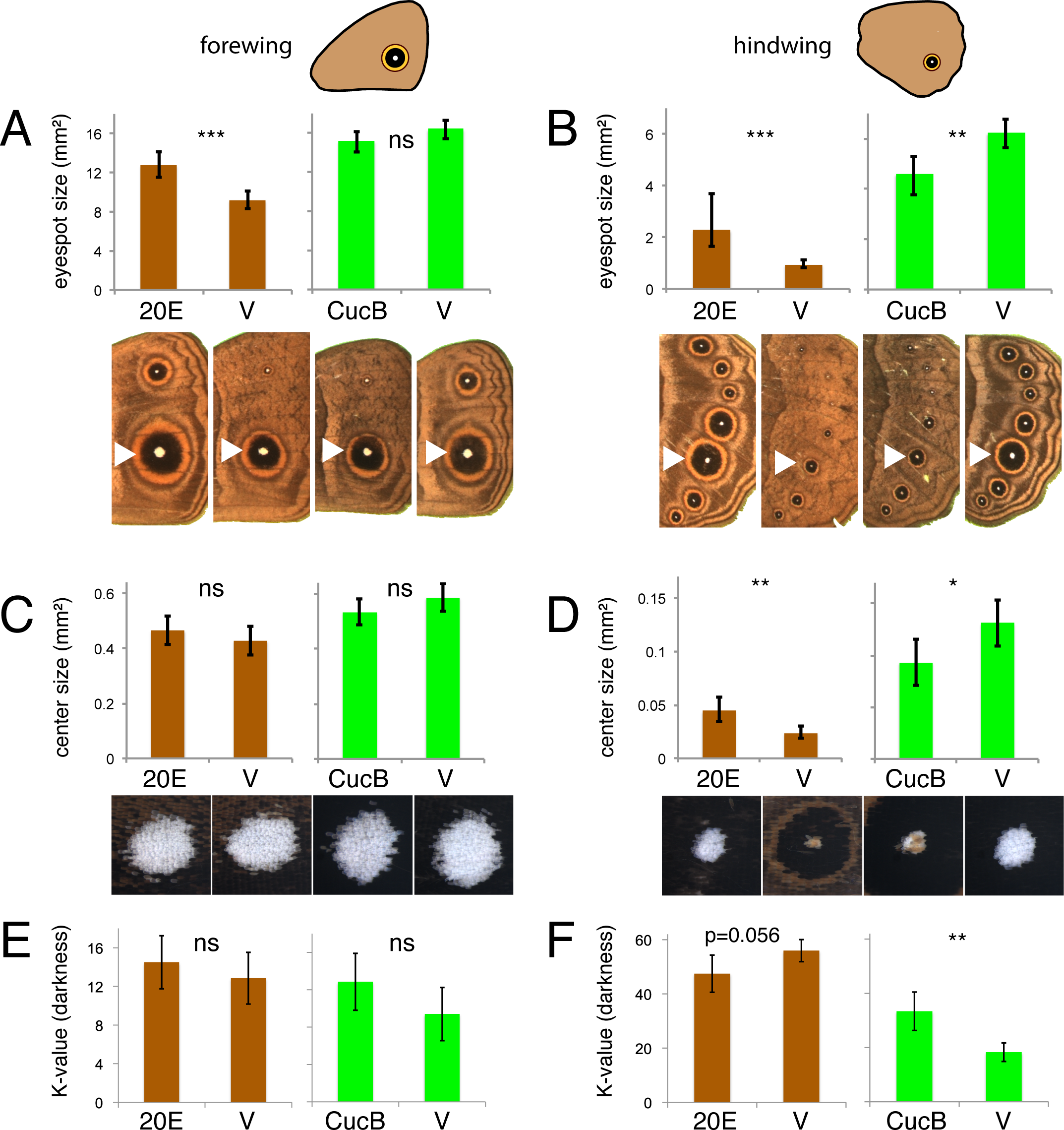 Manipulations of ecdysone signaling during the wanderer stages of development alters hindwing eyespots more extensively than forewing eyespots.