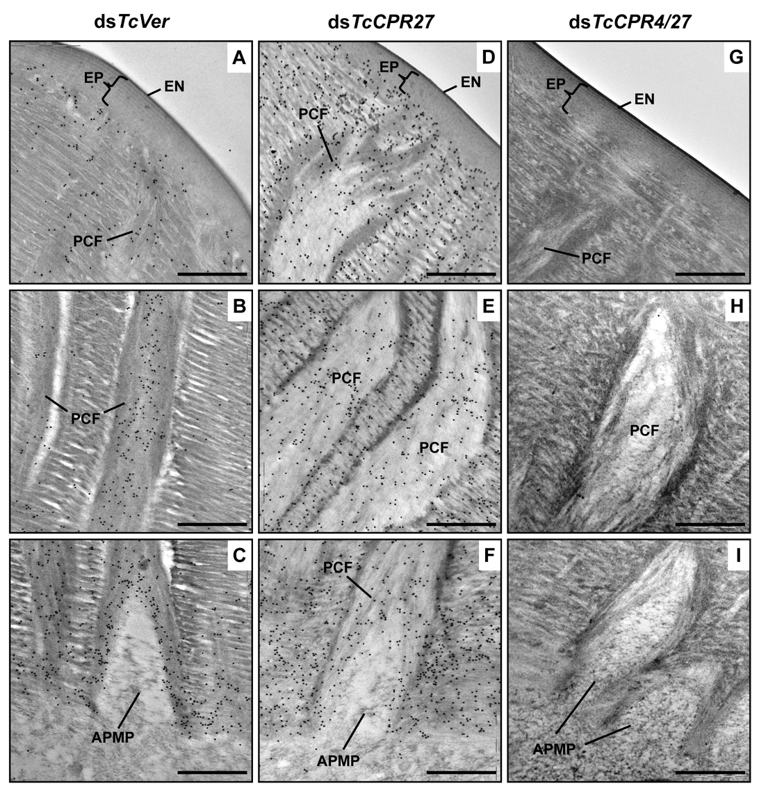 Localization of TcCPR4 protein in elytral cuticle from TcCPR27-deficient insects.