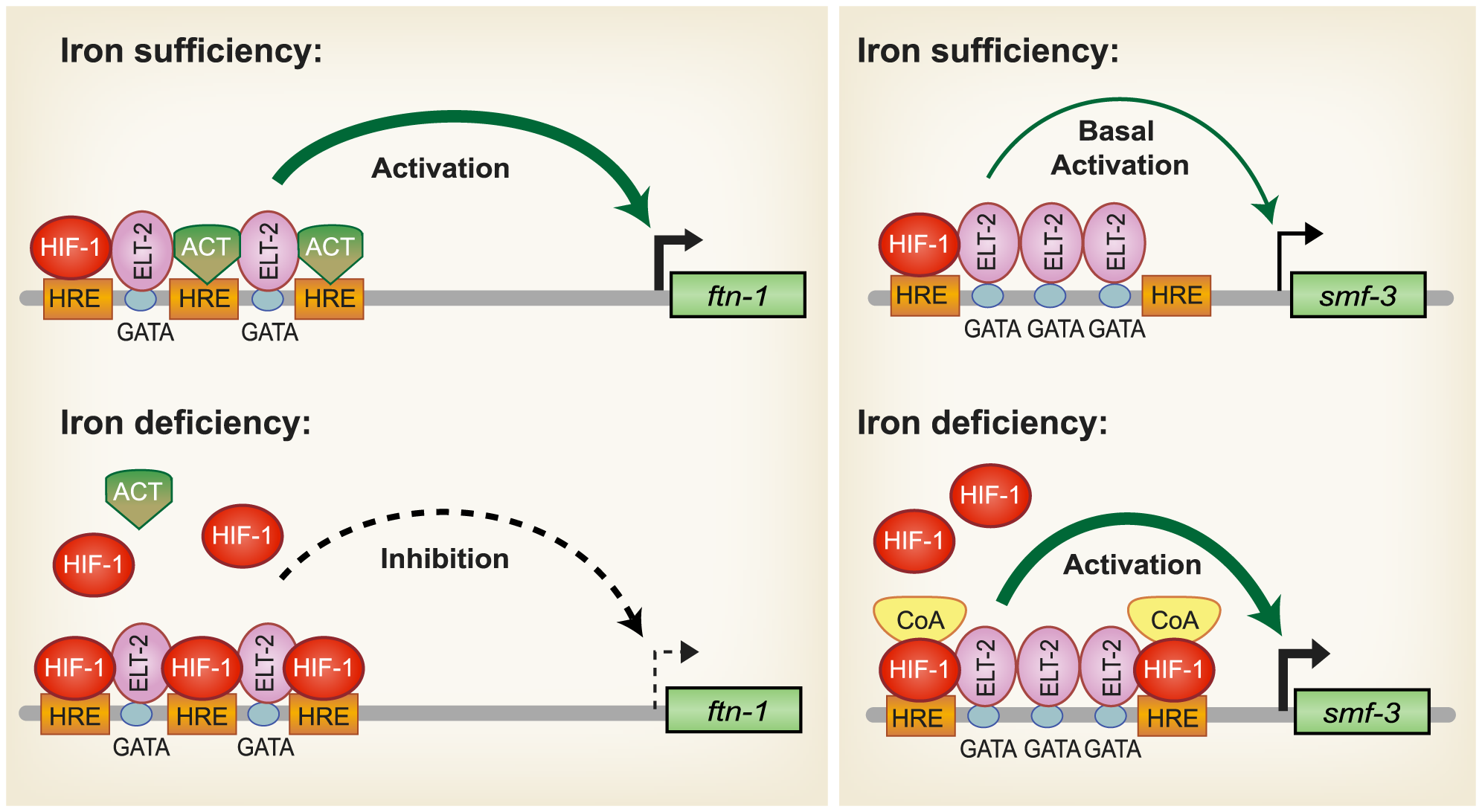 Model for HIF-1 iron-dependent activation and inhibition of intestinal iron uptake and storage.