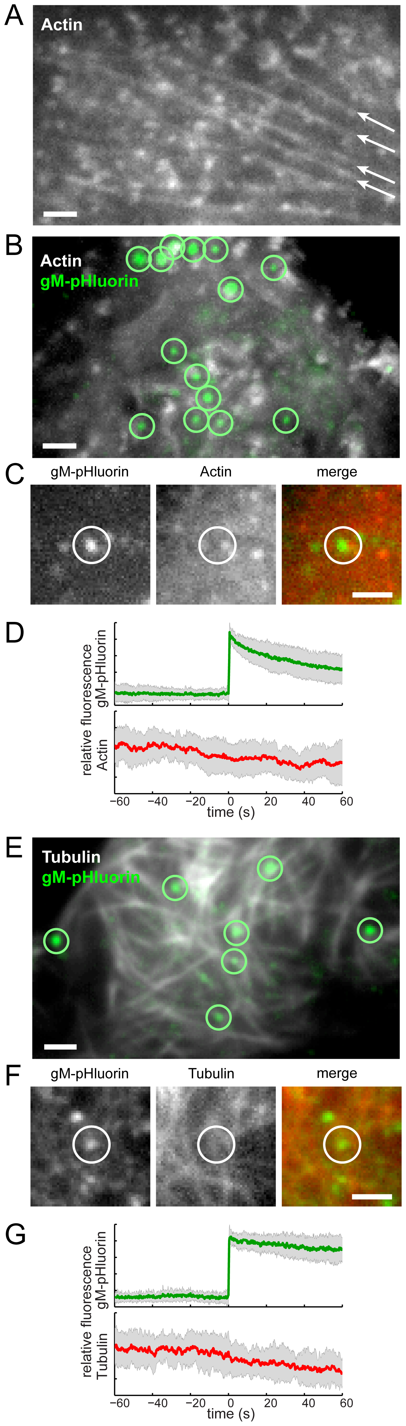 Viral exocytosis does not occur at specialized sites depleted in cytoskeleton proteins.
