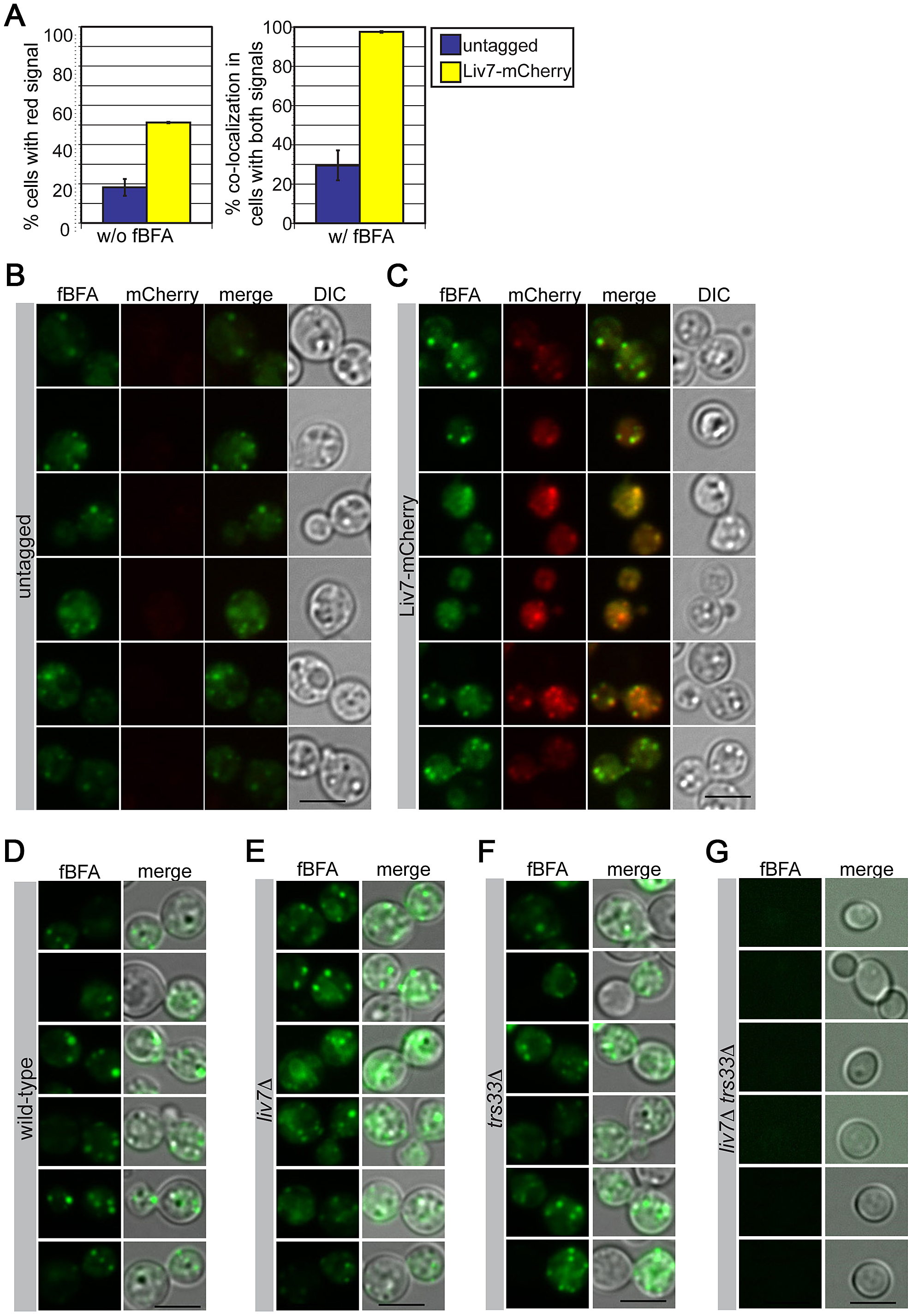Liv7 localizes to the ER/Golgi in <i>C. neoformans</i>.