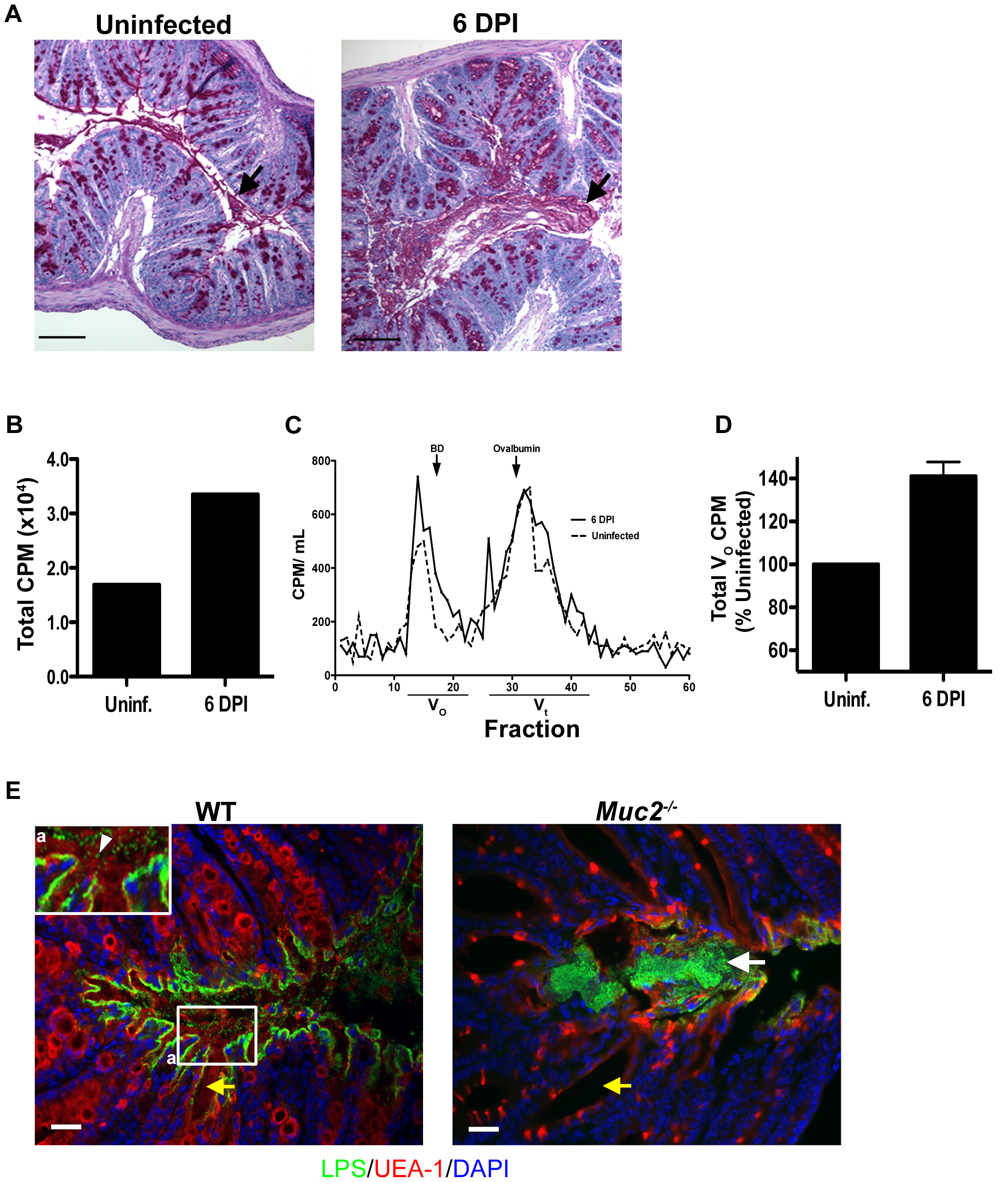 <i>C. rodentium</i> infection results in increased mucin secretion during infection.