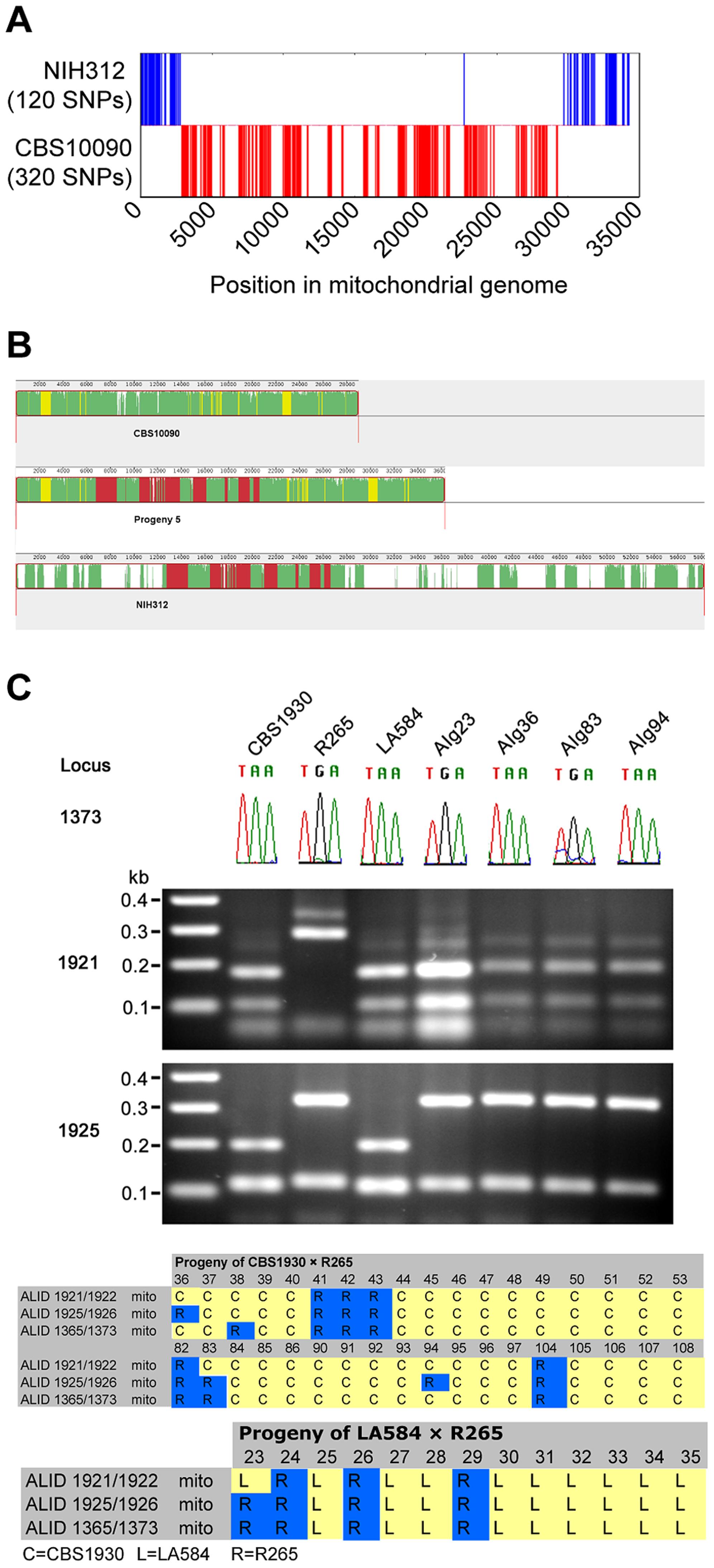 Mitochondrial recombination occurs in <i>C. gattii</i> crosses.