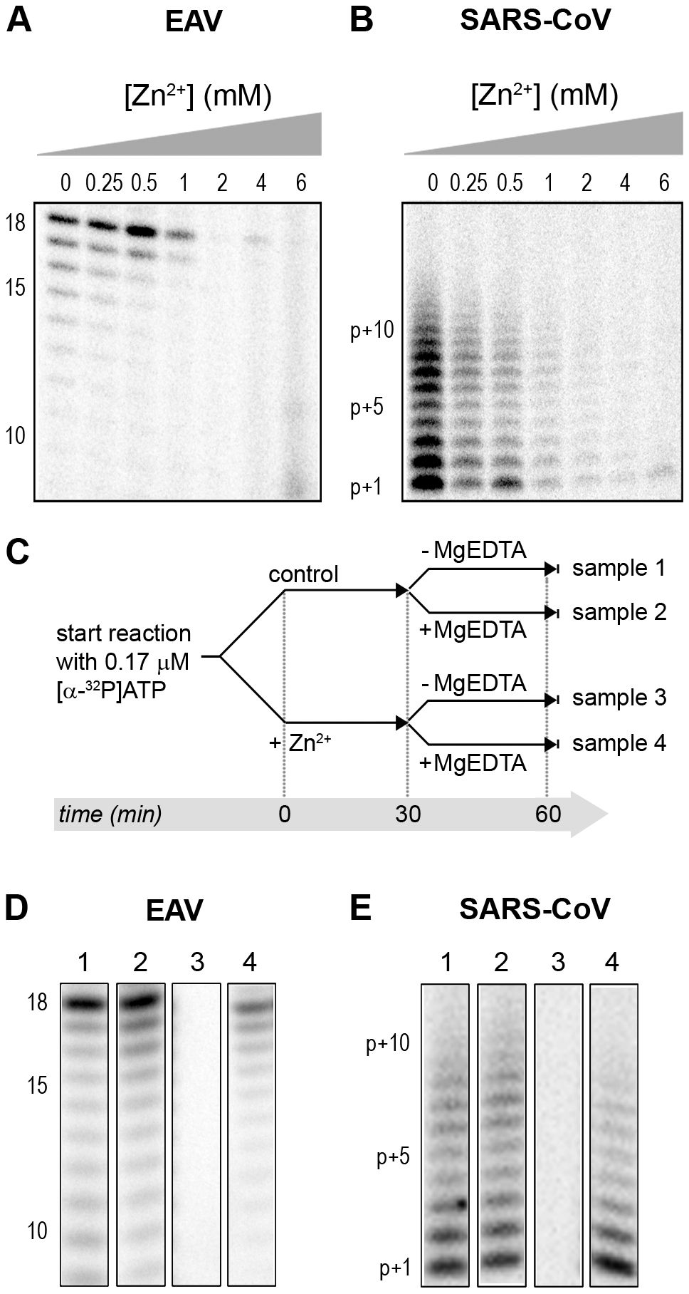 The activity of the RdRps of EAV and SARS-CoV is reversibly inhibited by Zn<sup>2+</sup>.