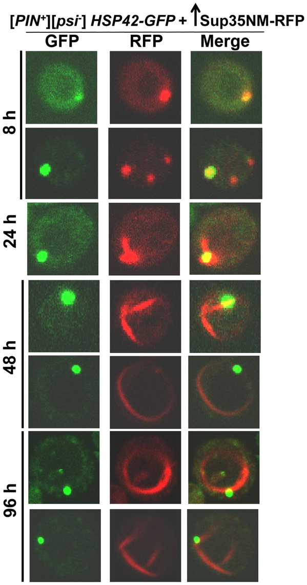 Sup35 aggregates initially appear near the vacuole, from which short lines extend to the periphery to form rings.