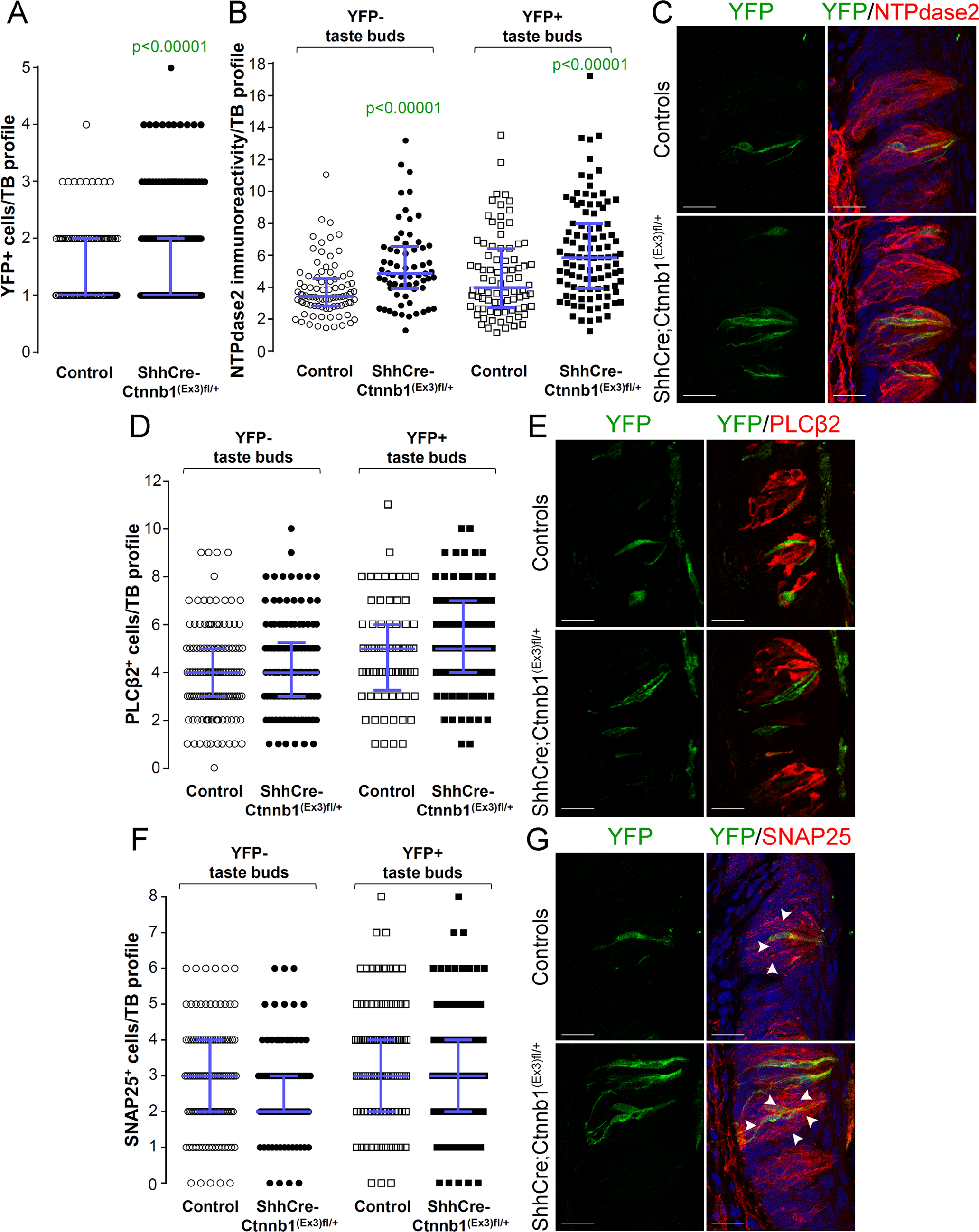 Beta-catenin stabilization in Shh<sup>+</sup> cells biases taste cell fate in the CVP, both taste bud autonomously and indirectly.