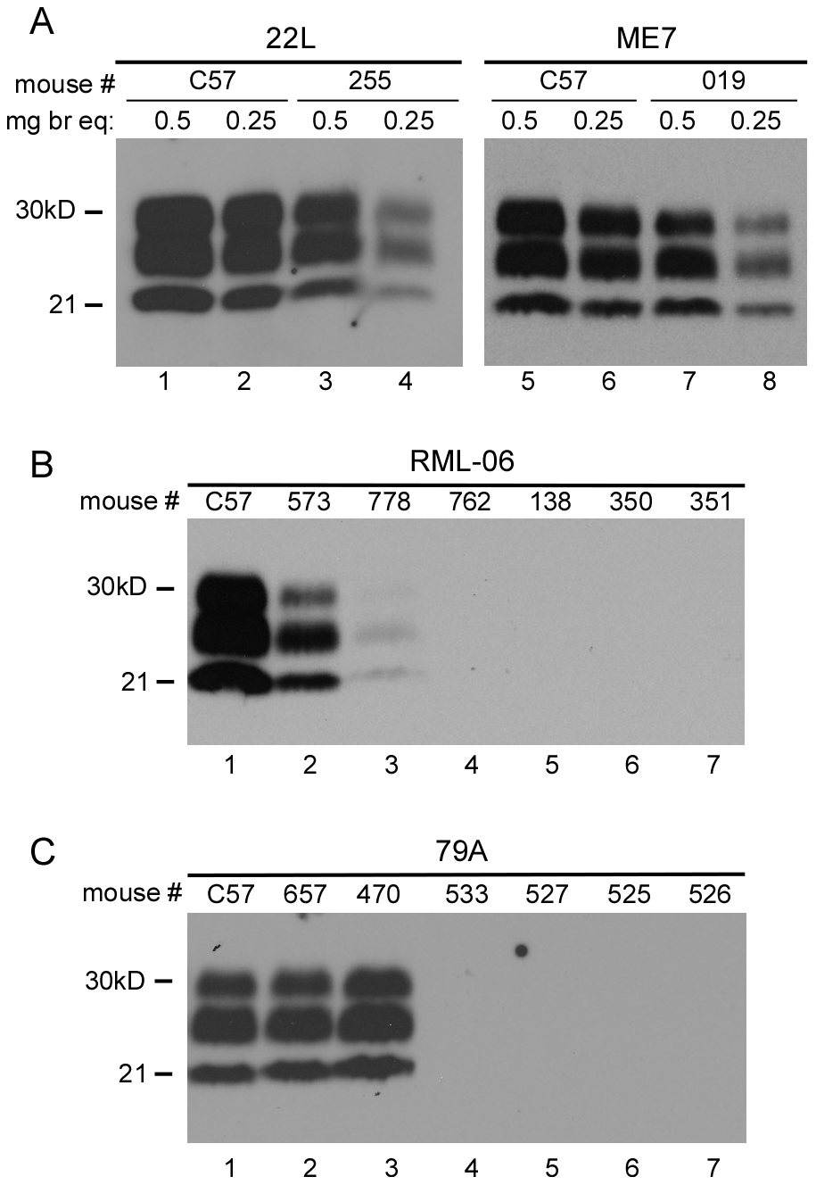 Immunoblot analysis of PrPres in scrapie-infected mice.