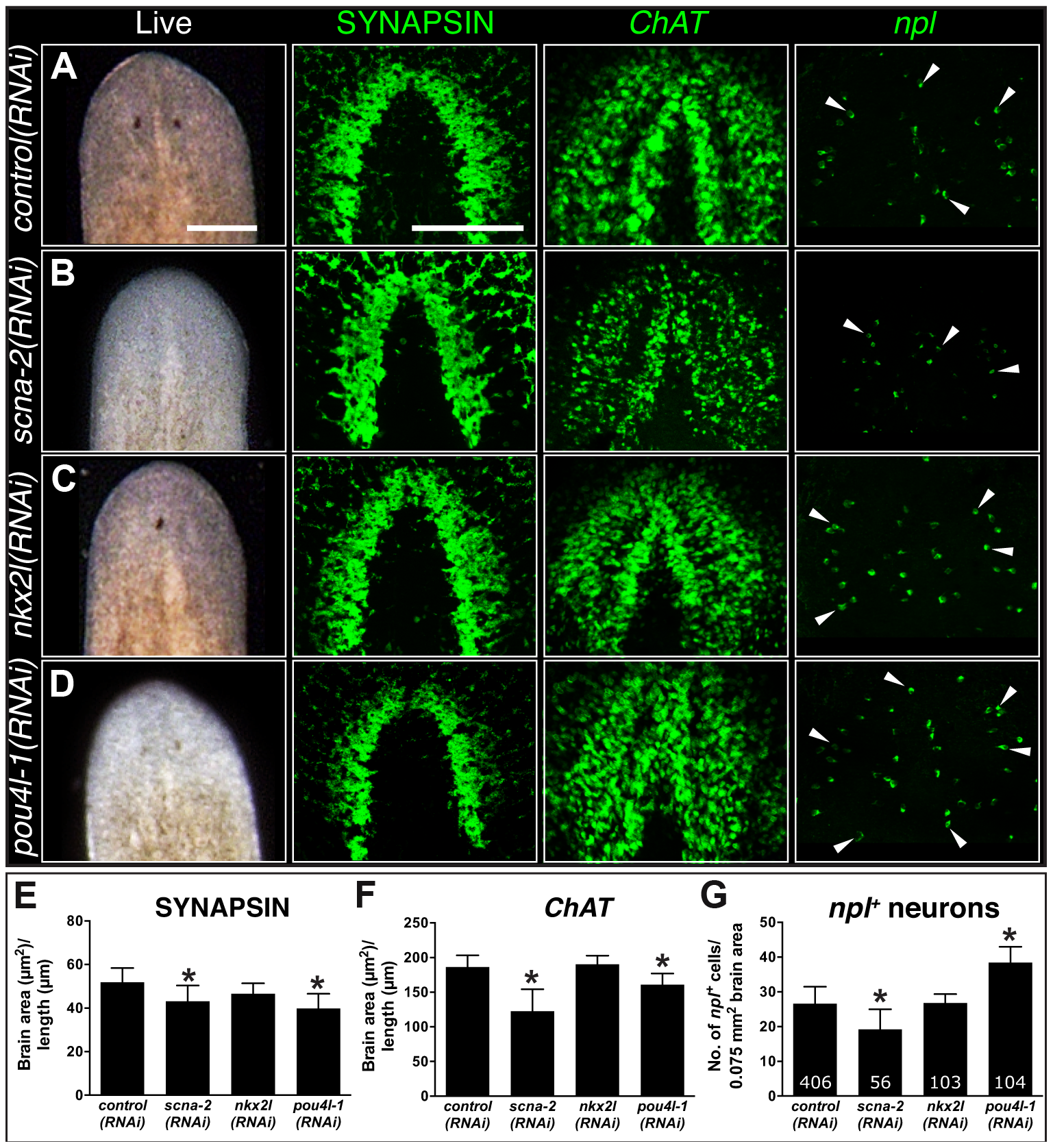 CNS regeneration defects following knockdown of COE-regulated genes.