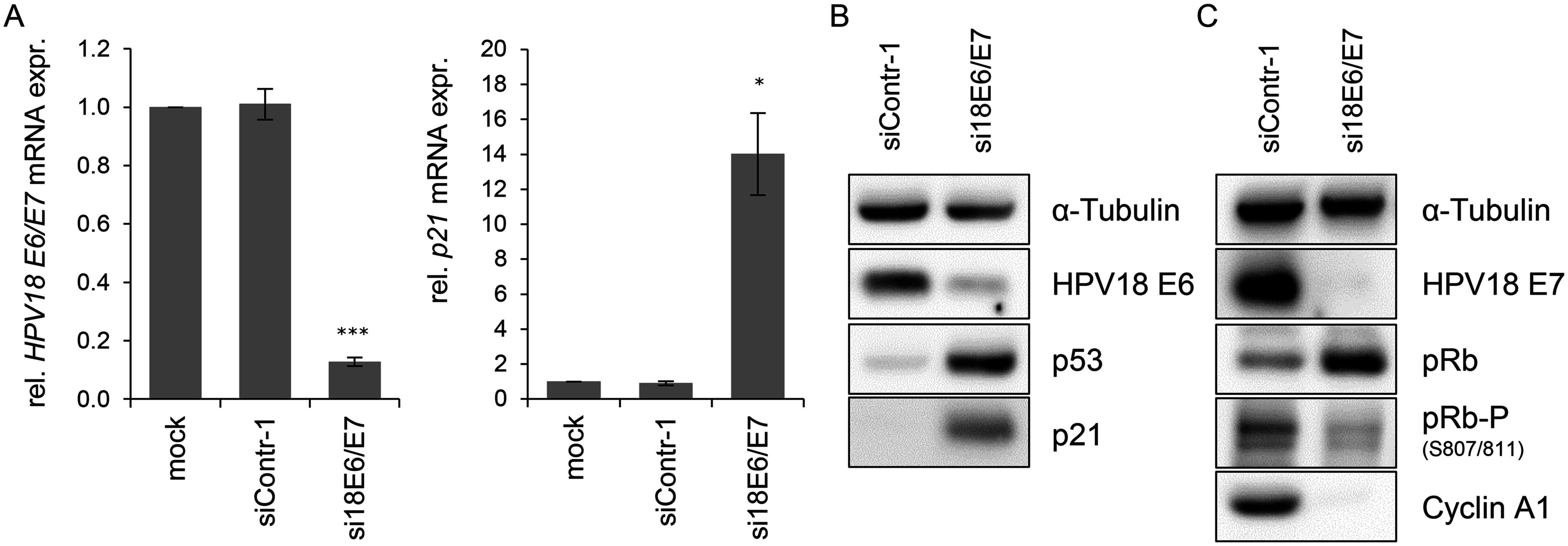 Silencing of HPV18 <i>E6/E7</i> expression by RNA interference.
