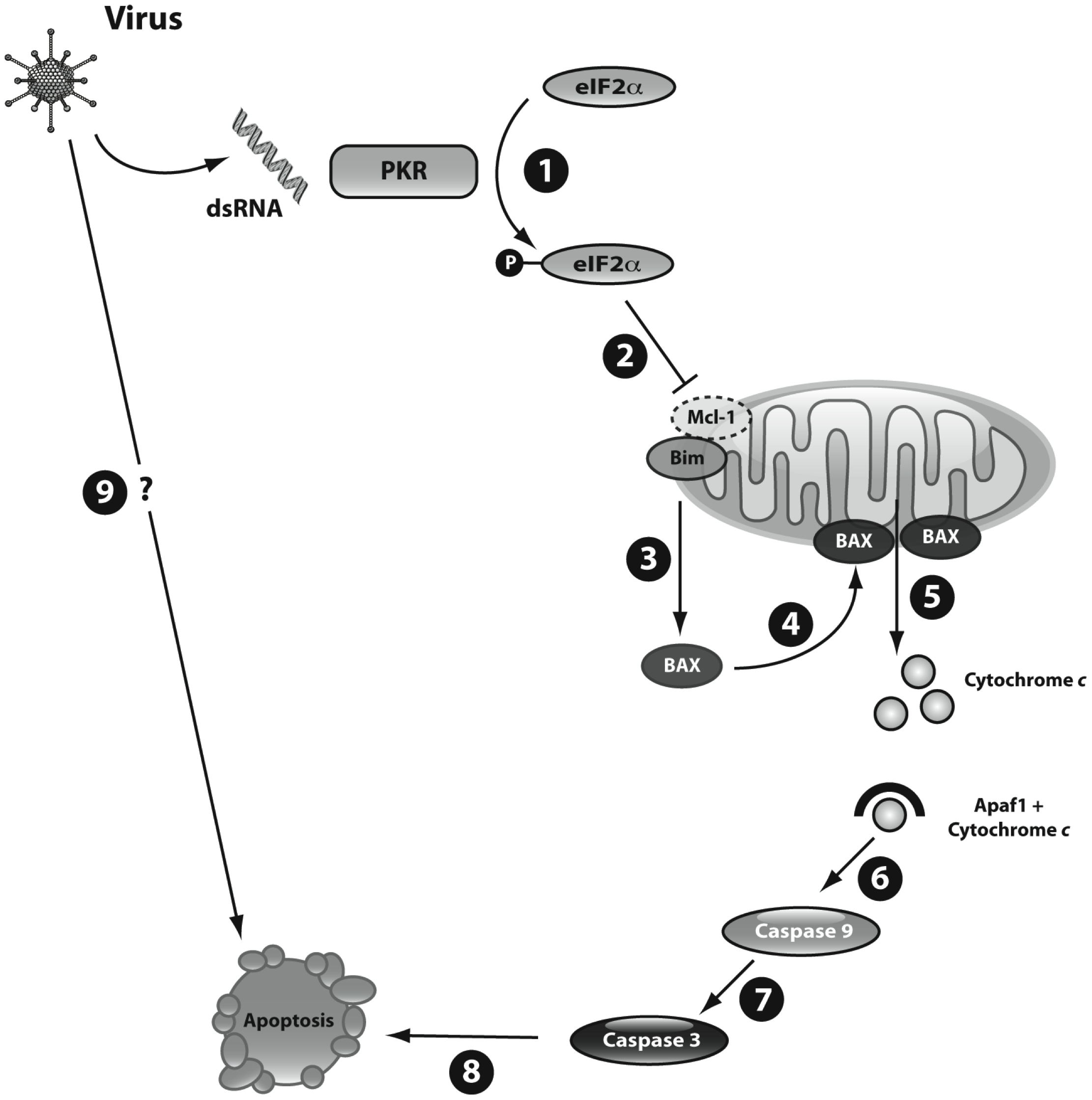 Schematic representation of dsRNA- and virus-induced beta cell apoptosis.