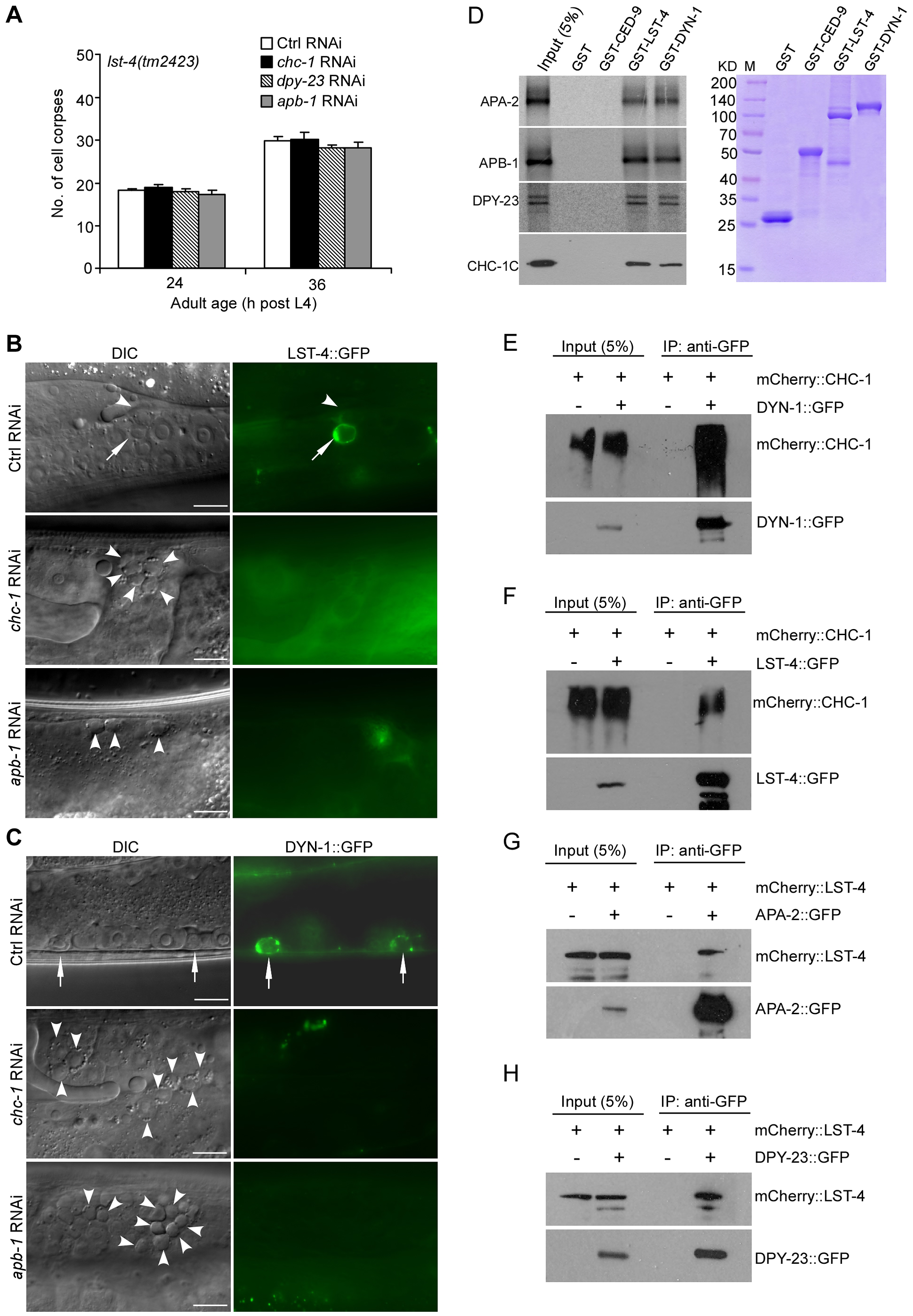 Clathrin and AP-2 function upstream of LST-4 and DYN-1 for apoptotic cell clearance.