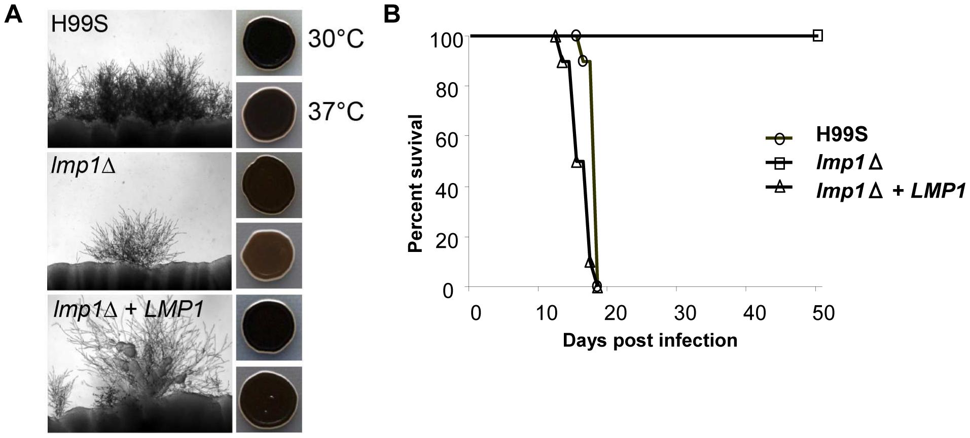 Deletion of <i>LMP1</i> reduces mating efficiency, melanization and virulence.