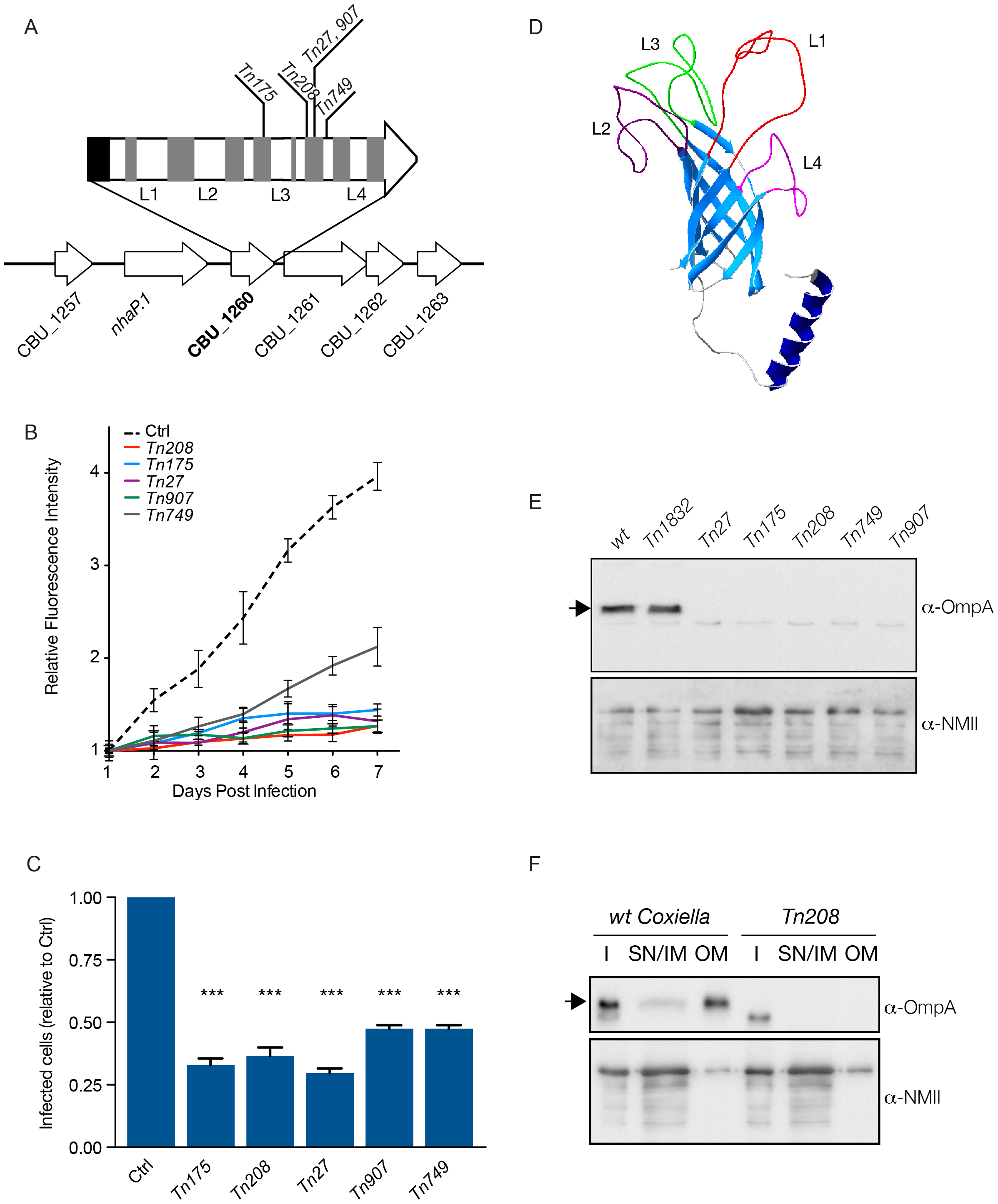 Characterization of CBU_1260 (OmpA), a <i>Coxiella</i> protein involved in host cell invasion.