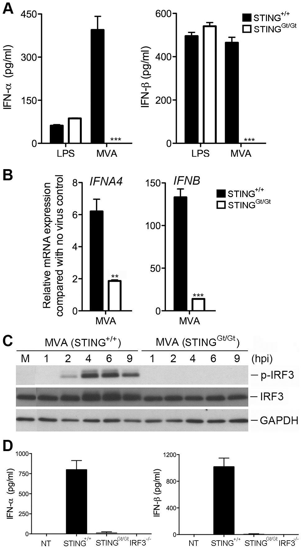 STING is required for the induction of type I IFN and IRF3 phosphorylation by MVA in BMDCs.