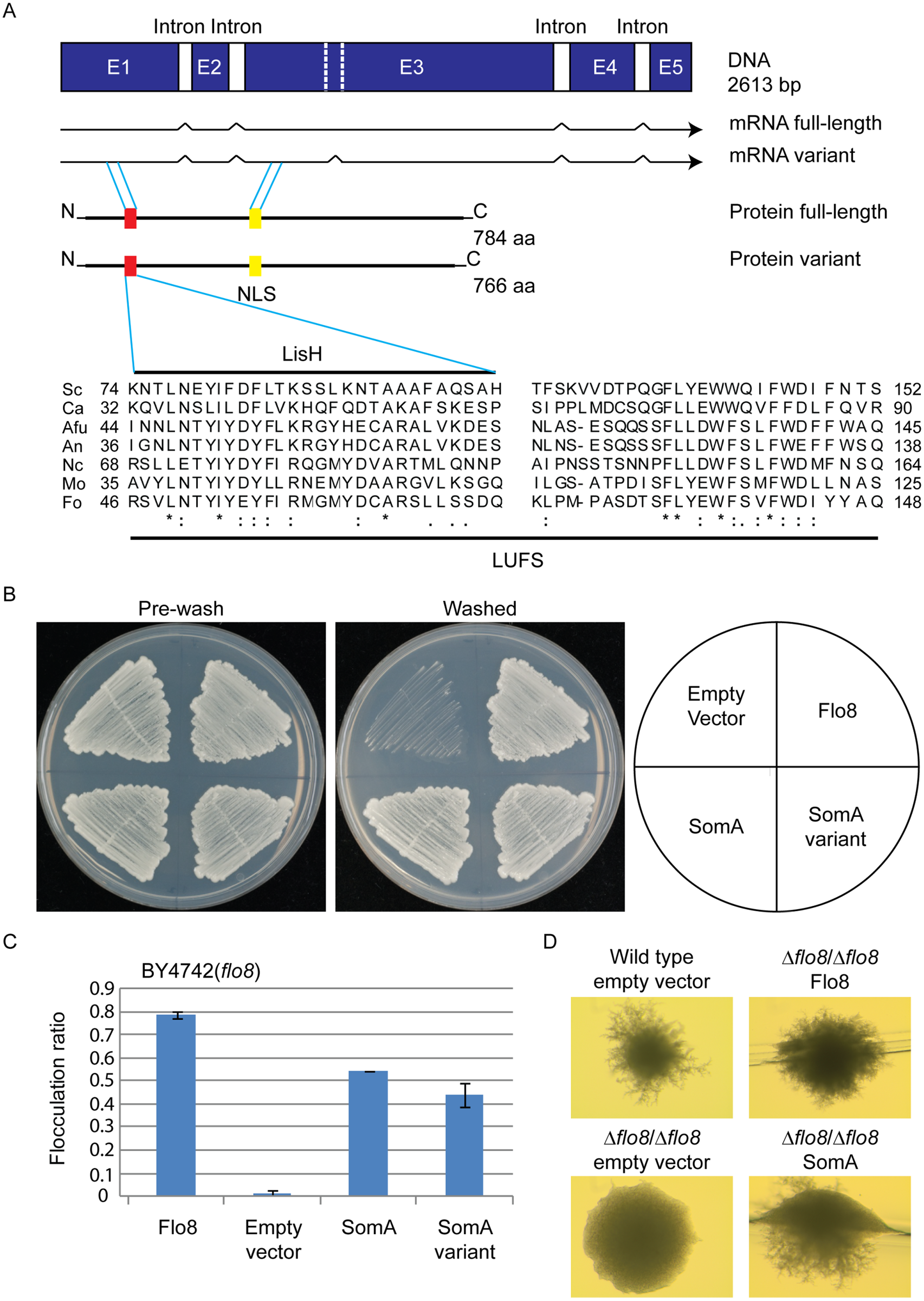 The SomA corresponds to Flo8 and complements developmental phenotypes in <i>S</i>. <i>cerevisiae flo8</i> mutant strains.