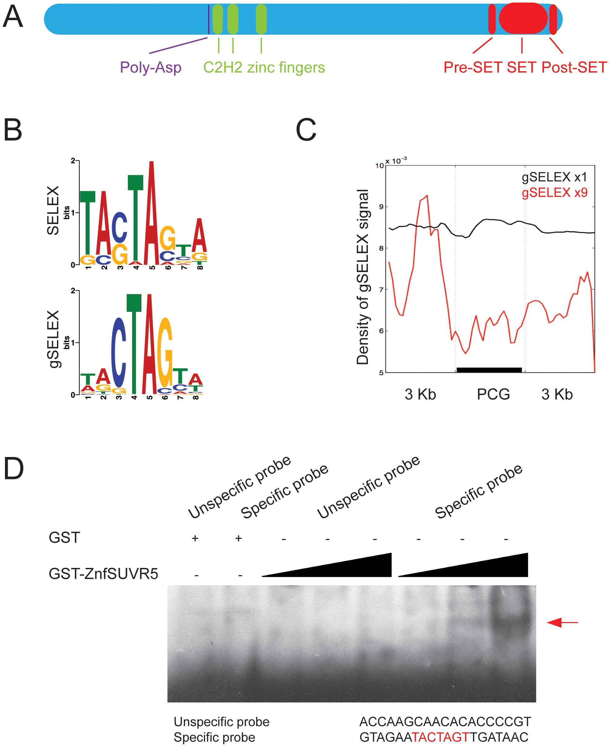 SUVR5 zinc finger domain binds specific sequences of DNA that map to the promoters of genes.