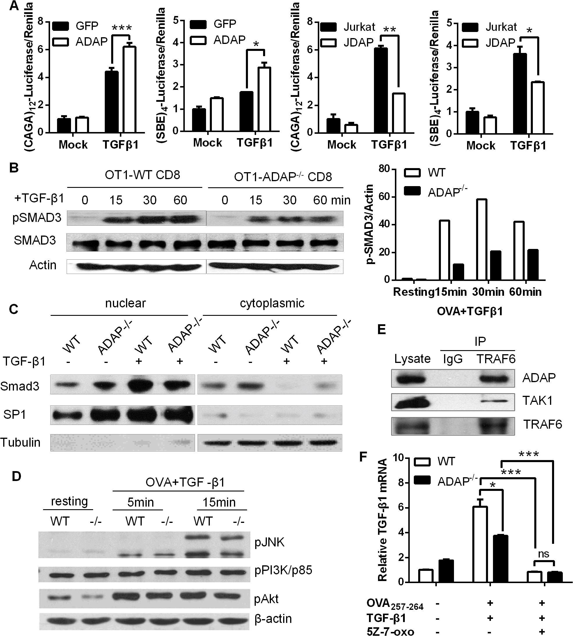 ADAP enhances TGF-β1/TβRI signaling via TRAF6-TAK1-SMAD3.