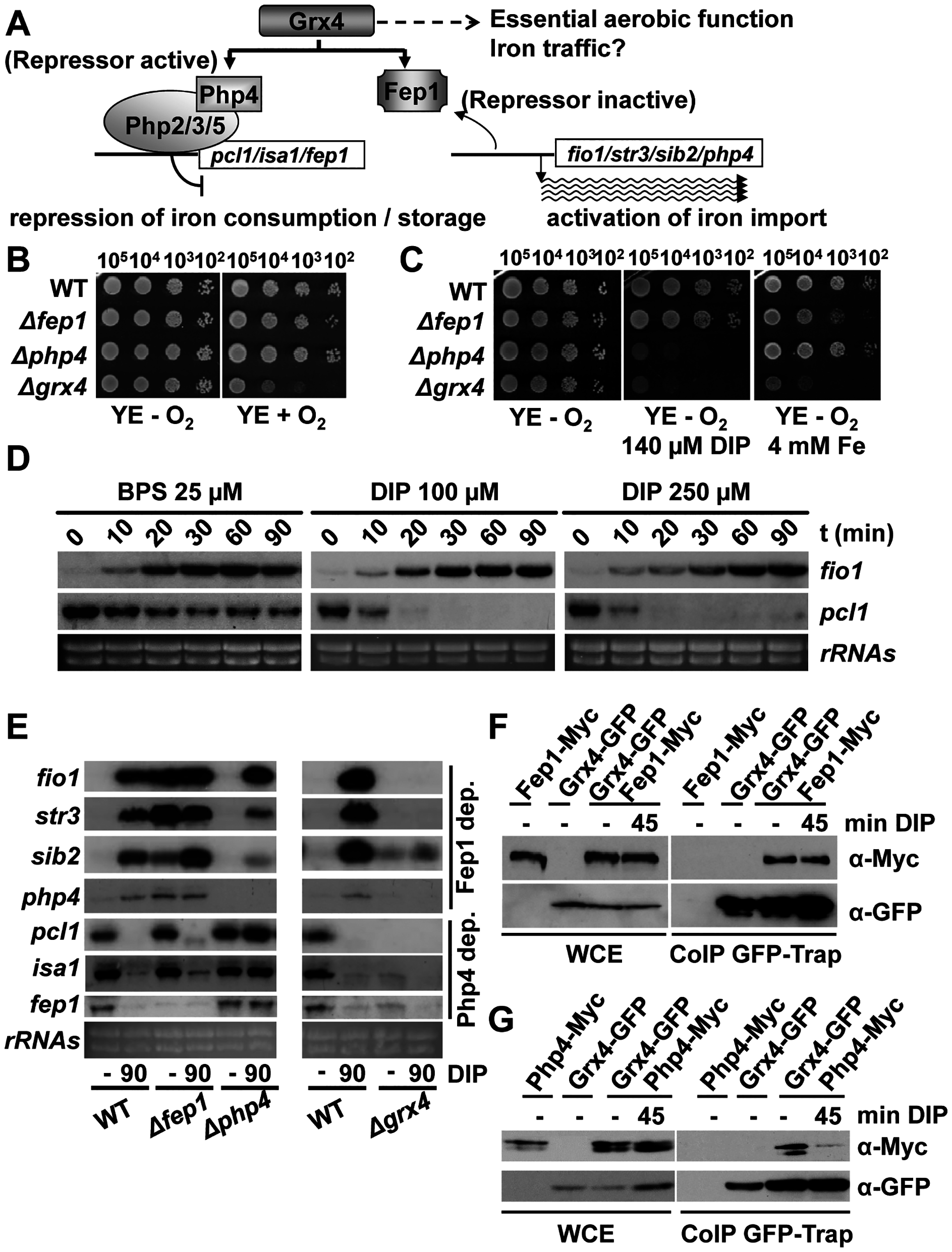 The glutaredoxin Grx4 functions in both Fe signaling and Fe traffic.