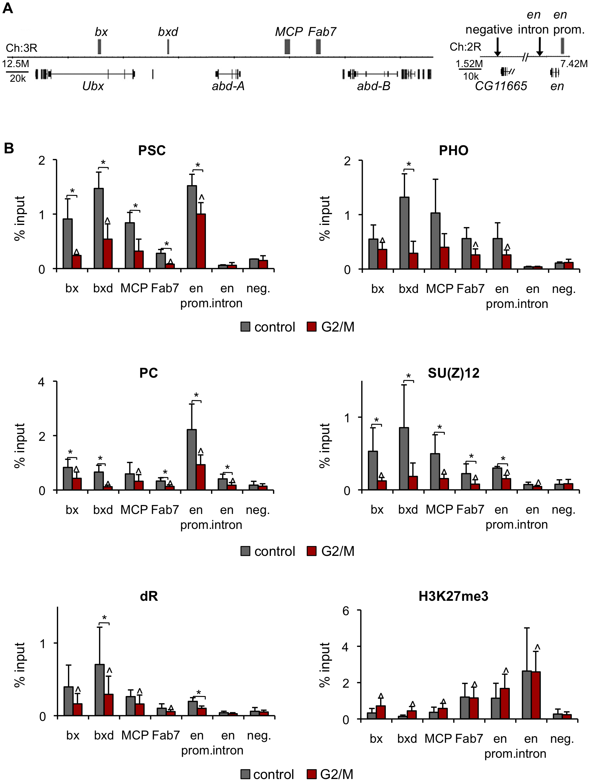 PcG protein binding, but not H3K27me3, is reduced at PREs in G2/M cells.
