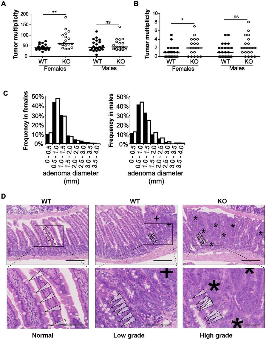 Disruption of <i>miR-10a</i> leads to enhanced intestinal tumorigenesis in <i>Apc<sup>Min</sup></i> mice.