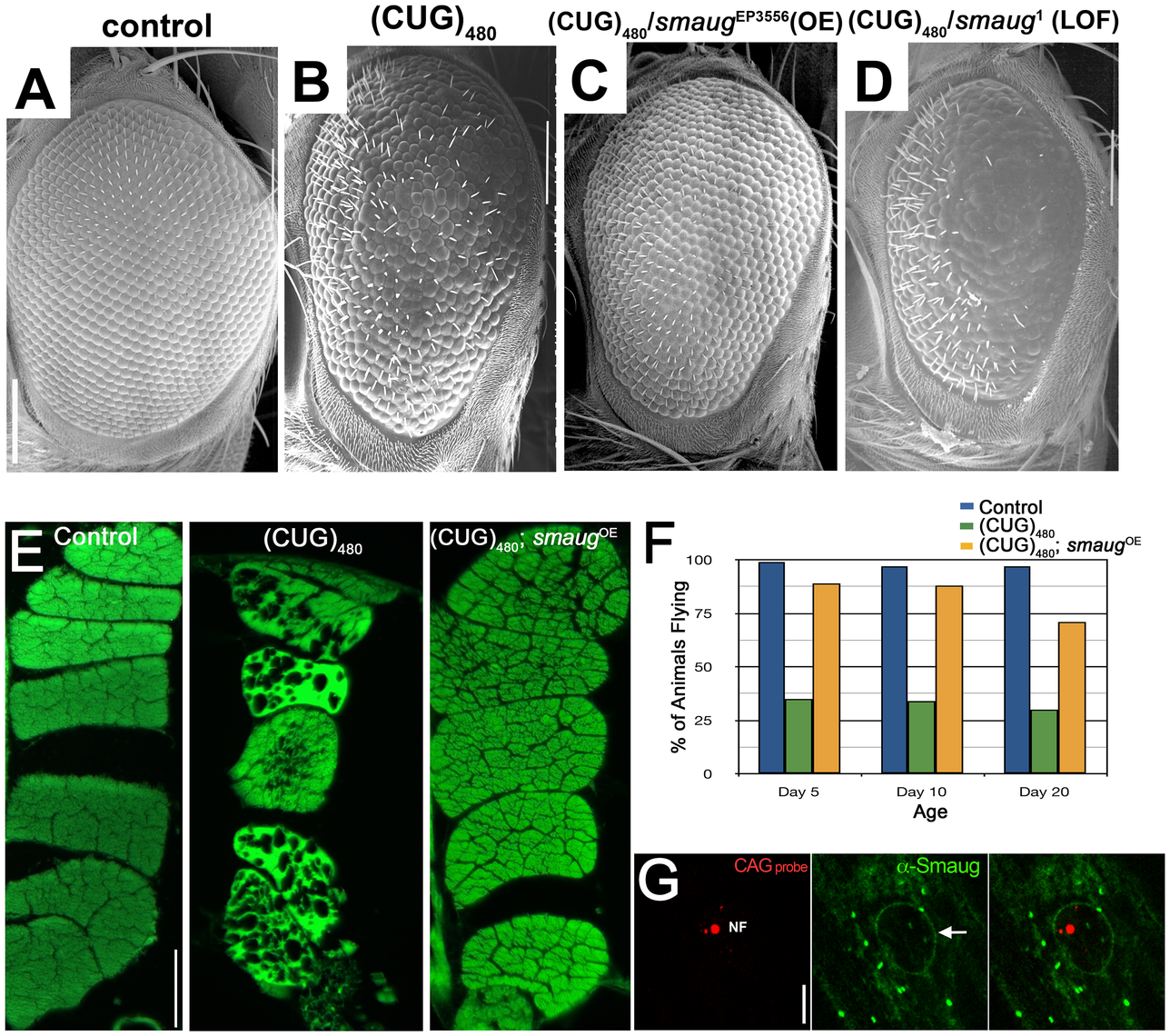 <i>smaug</i> overexpression suppresses expanded CUG-induced toxicity in <i>Drosophila</i>.