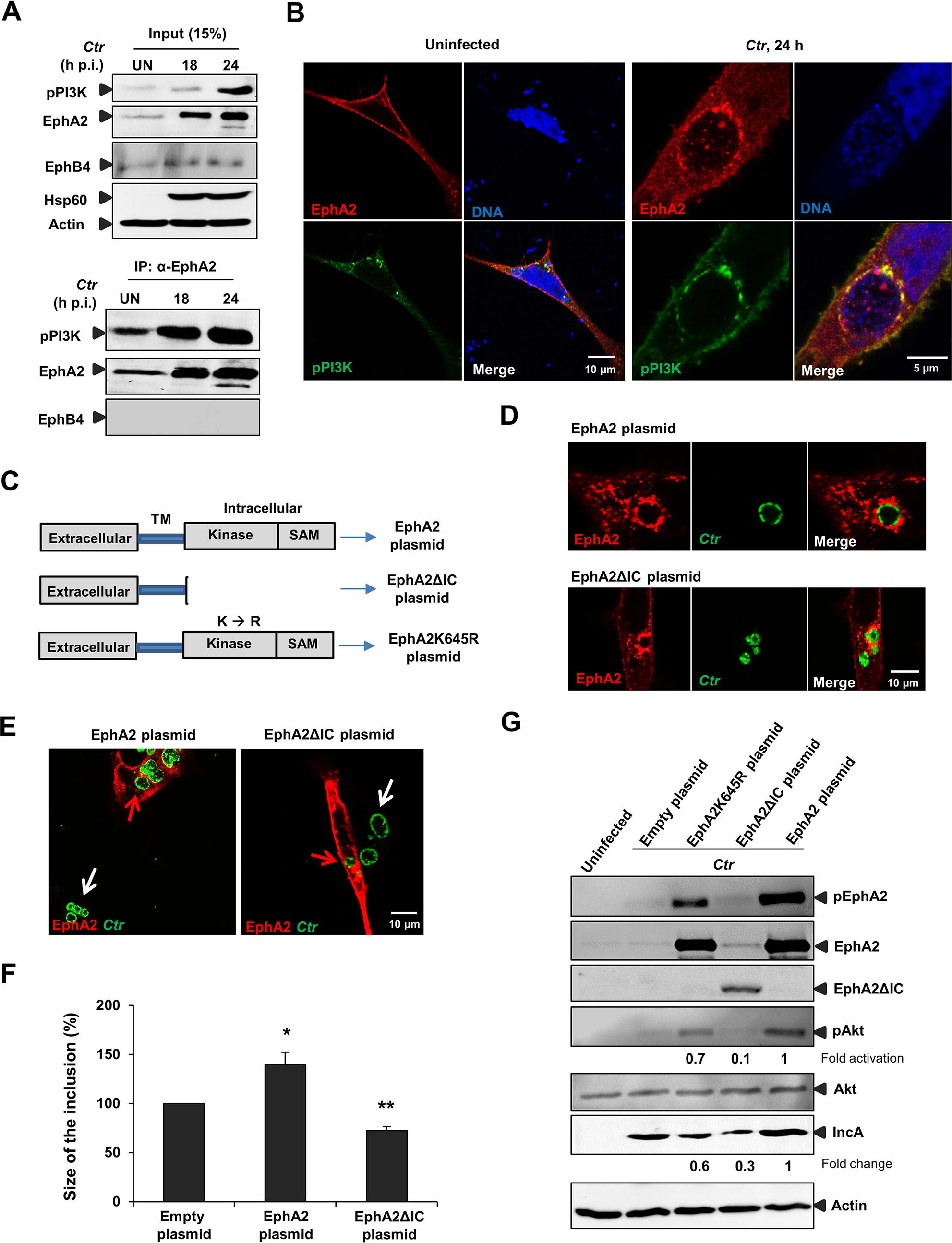 EphA2 intracellular cytoplasmic domain is crucial for <i>Ctr</i> infection.