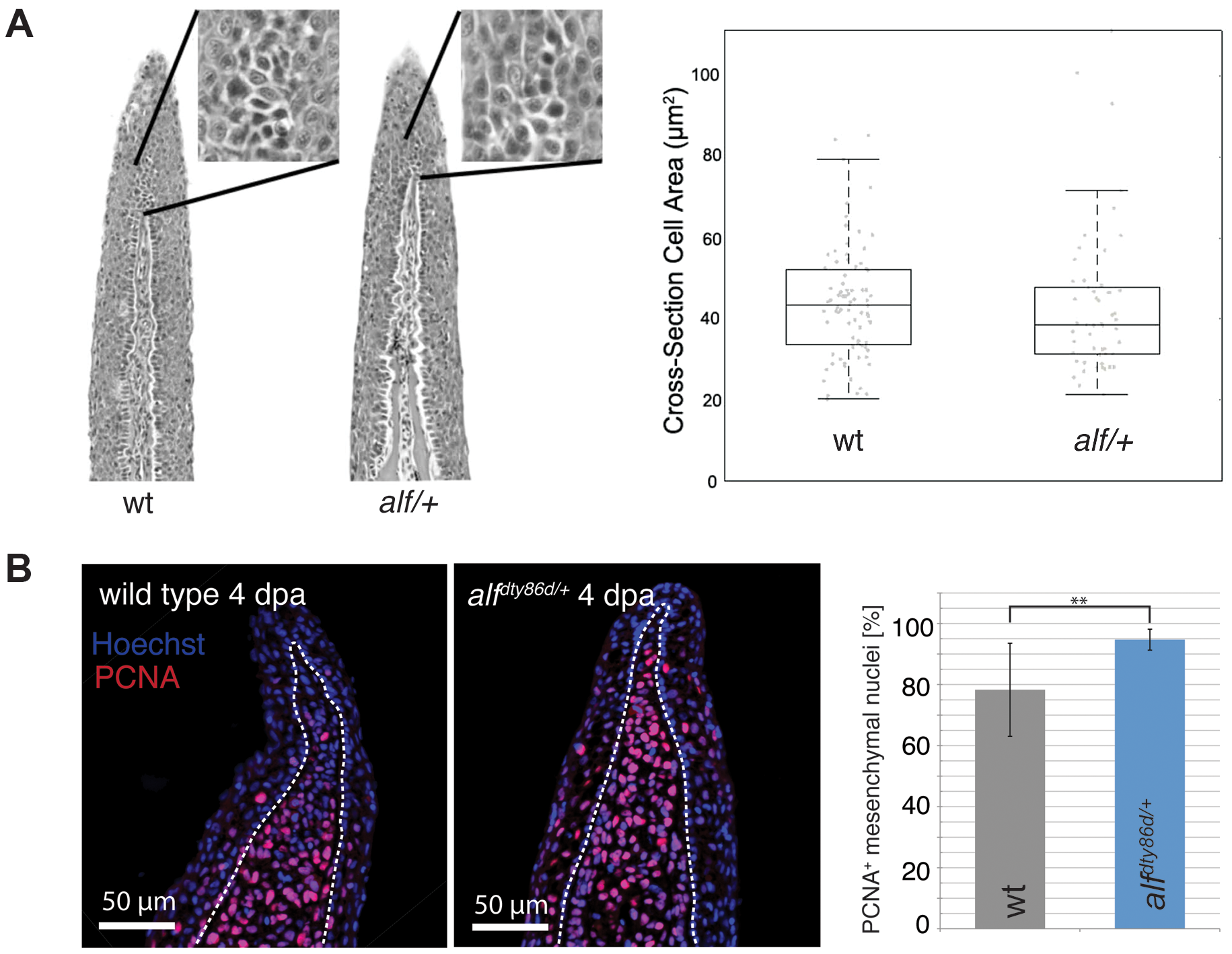 Cell proliferation is increased in <i>alf</i> mutants.