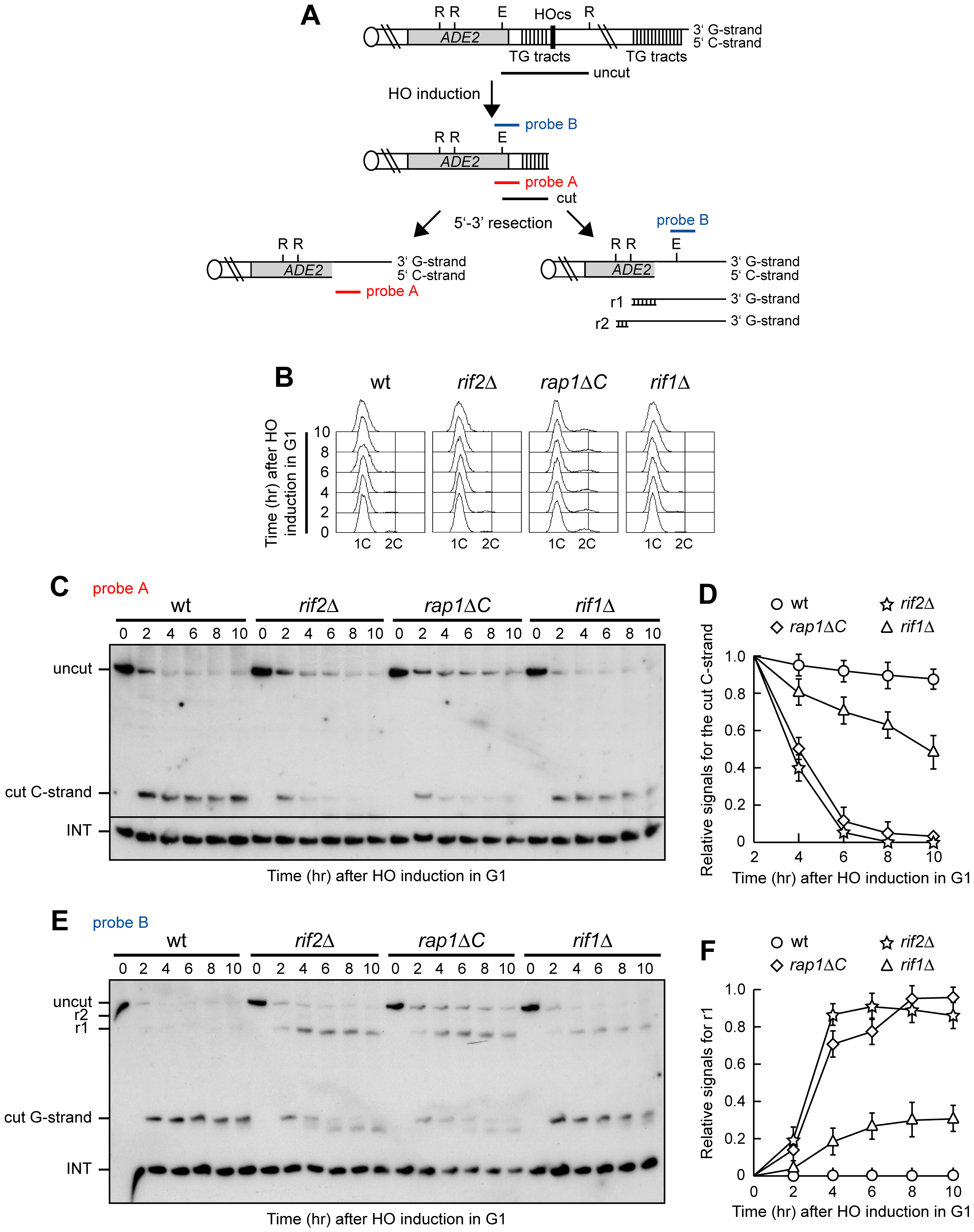 Rap1, Rif1, and Rif2 inhibit resection at a de novo telomere in G1.