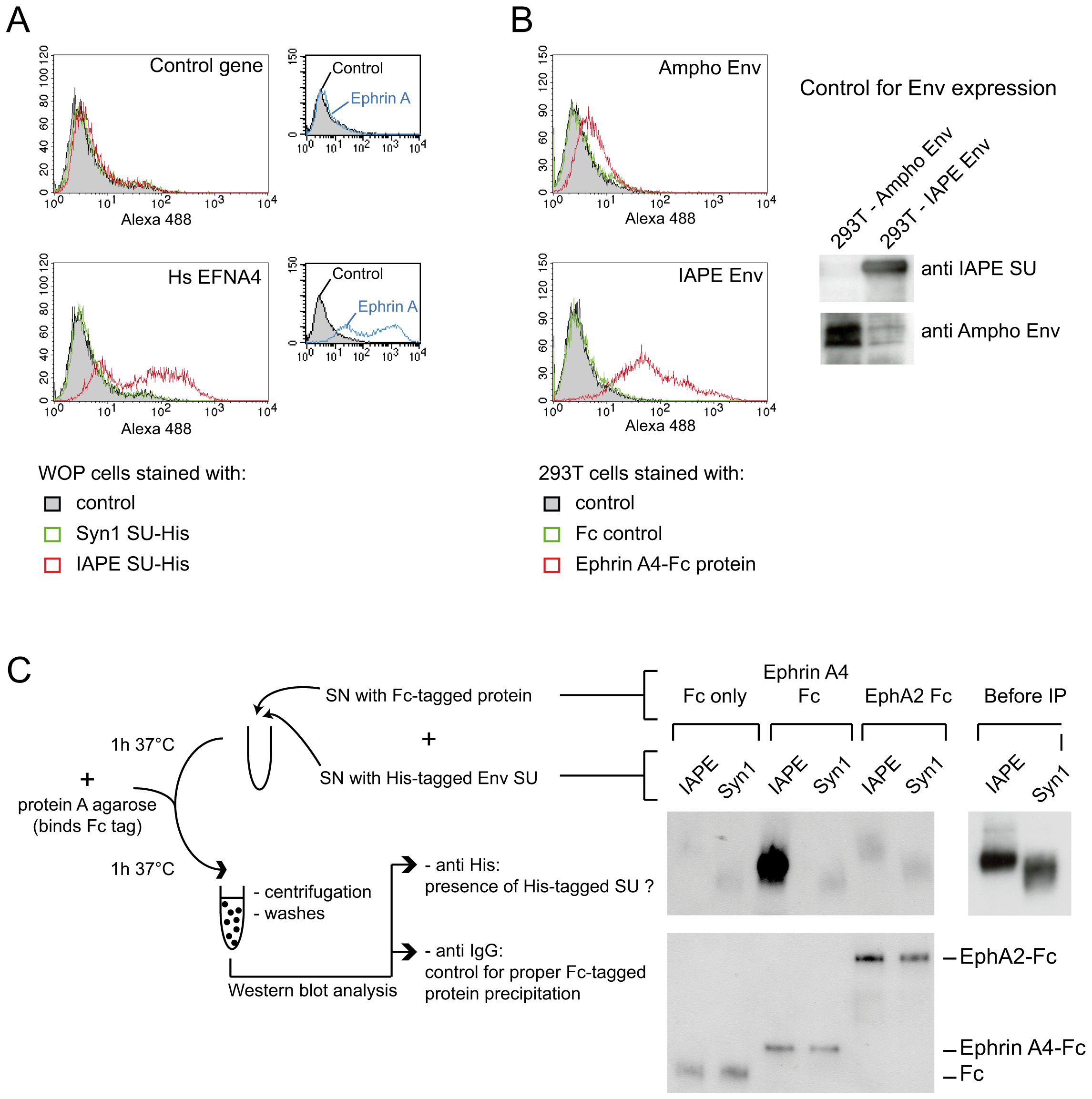 Ephrin A4 is a bona fide receptor for the IAPE Env.