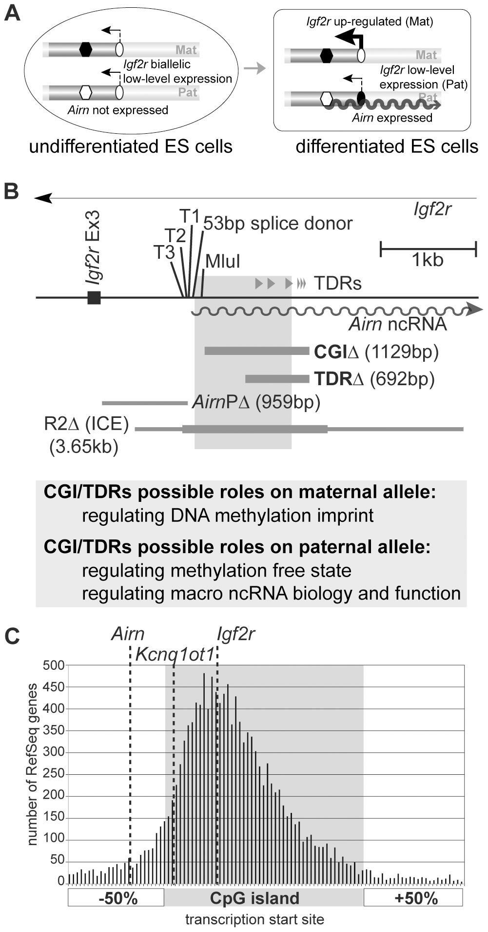 CpG islands lie upstream and downstream of the transcription start site.