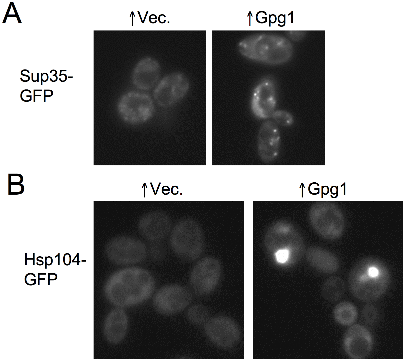 Overexpression of the non-Q/N-rich protein Gpg1 leads to larger [<i>PSI</i> <sup>+</sup>] aggregates and causes Hsp104 to aggregate.
