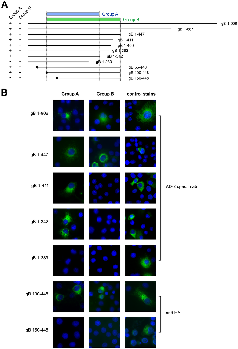Antibody recognition of gB deletion mutants.