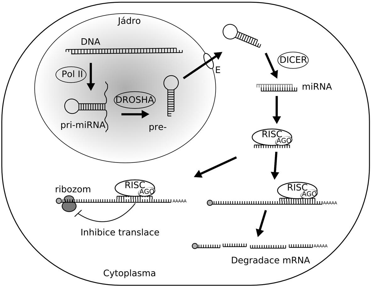 MicroRNA mohou fungovat jako onkogeny nebo nádorové supresory. (A) V normální tkáni napomáhá exprese miRNA udržovat optimální hladiny buněčných proteinů. Výsledkem je normální průběh buněčného cyklu, proliferace, diferenciace i apoptózy. (B) Narušení biogeneze nebo funkce miRNA fungujících jako nádorové supresory, které potlačují produkci onkoproteinů, může vést k rozvoji nádorového bujení. To může být provázeno nárůstem proliferace buněk, invazivity i angiogeneze, snížením úrovně apoptózy nebo morfologickými změnami v nádorové tkáni. (C) Amplifikace nebo nadměrná exprese onkogenních miRNA může mít také za následek rozvoj nádorového bujení. Důvodem je omezení produkce nádorových supresorů. Důsledky jsou podobné jako při snížení hladin supresorových miRNA.