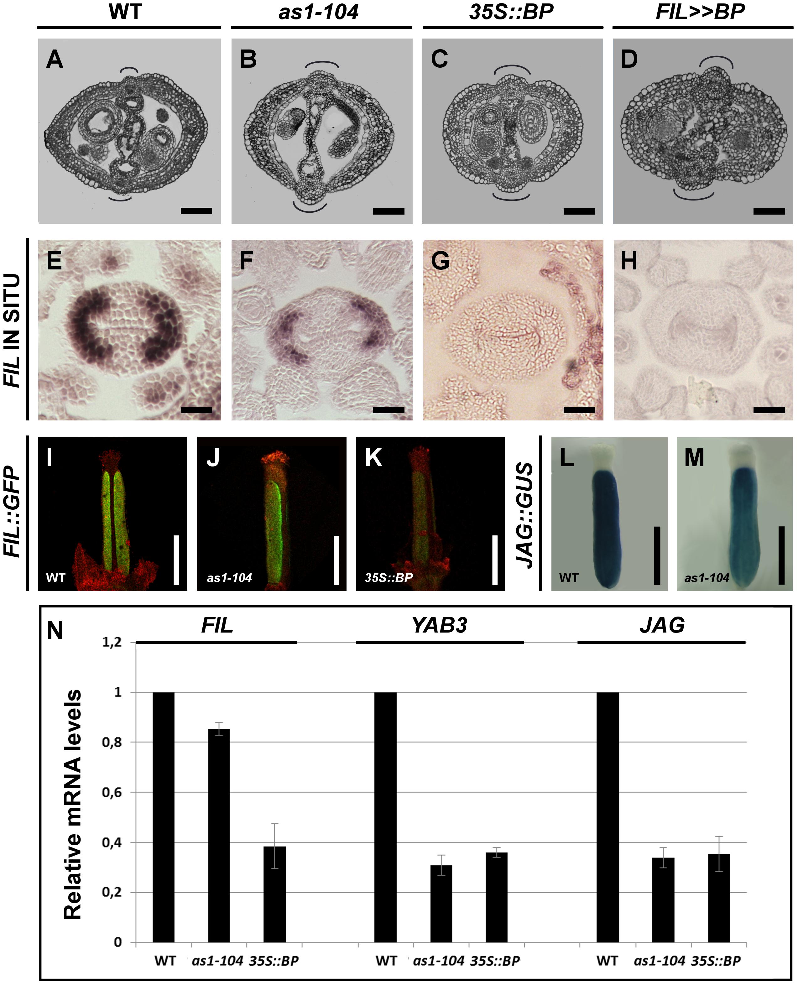 <i>BP</i> misregulation affects fruit morphology and expression of <i>JAG</i>/<i>FIL</i> activity genes.