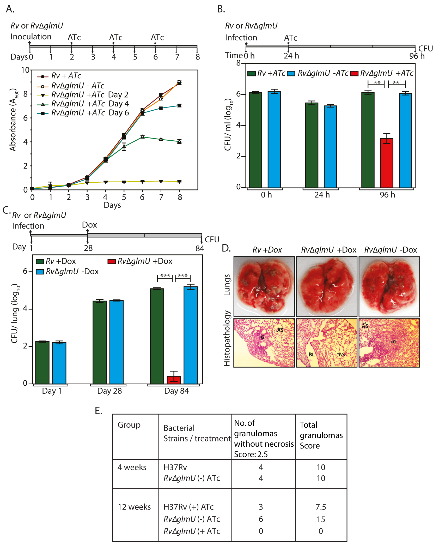 Depletion of GlmU<sub>Mtb</sub> from infected lungs leads to clearance of pathogen.