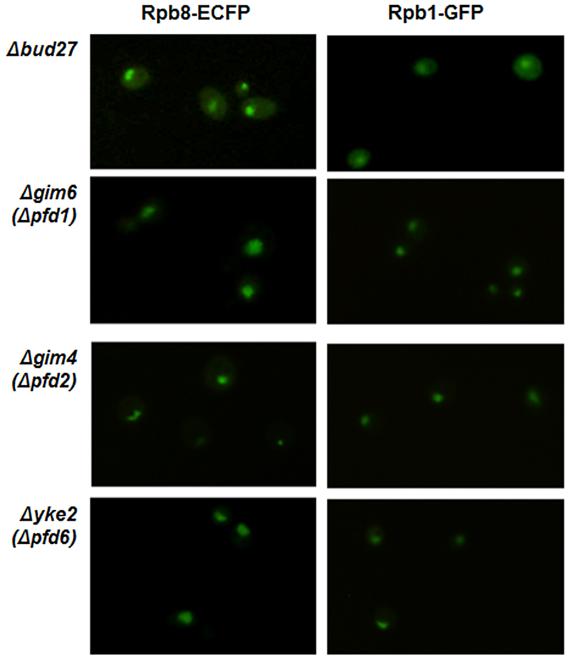 RNA pol I, II, and III nuclear localization is independent of the chaperone prefoldin (PFD) complex.