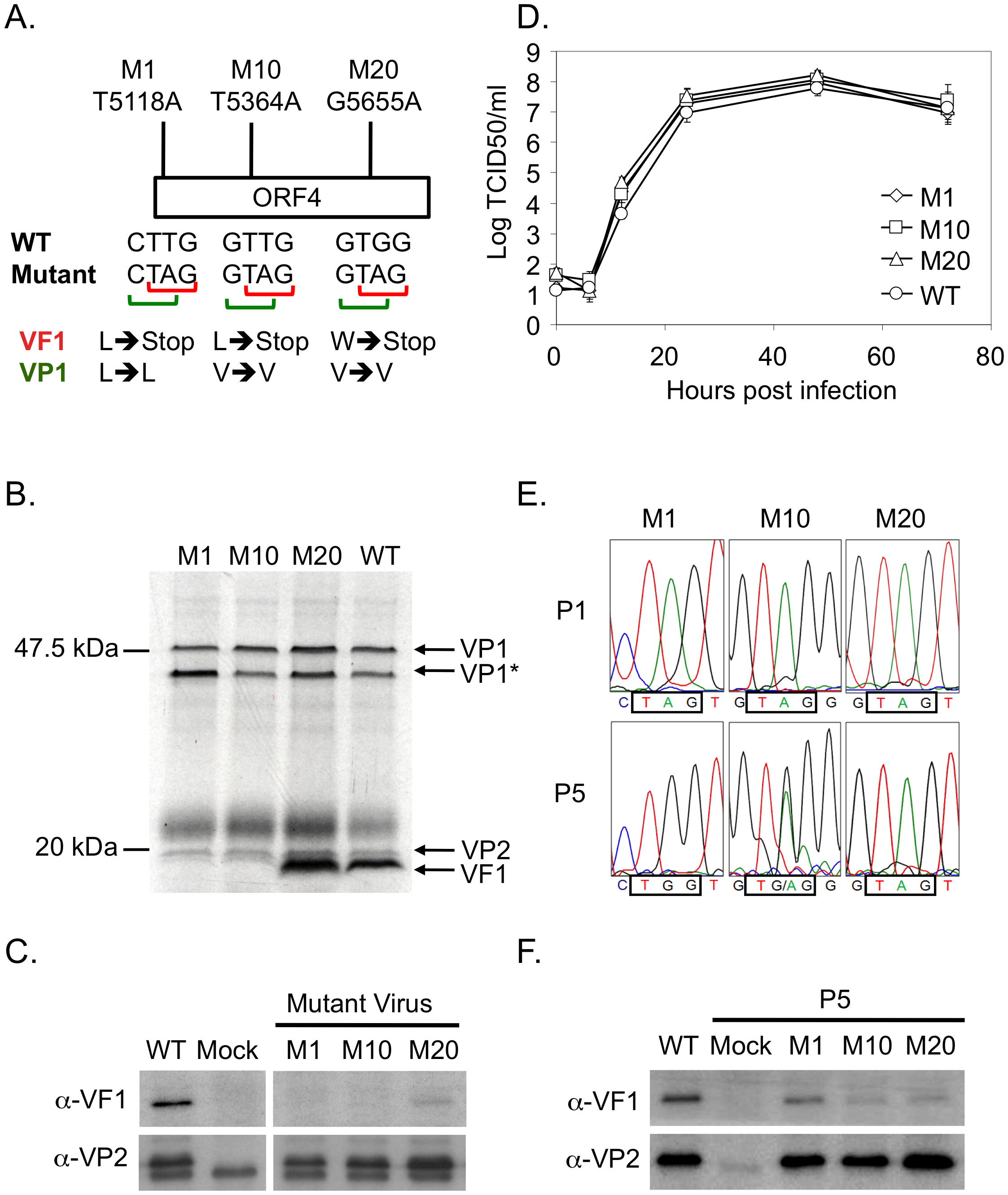 VF1 is not required for murine norovirus replication in tissue culture although there is a 'fitness cost' to the virus.