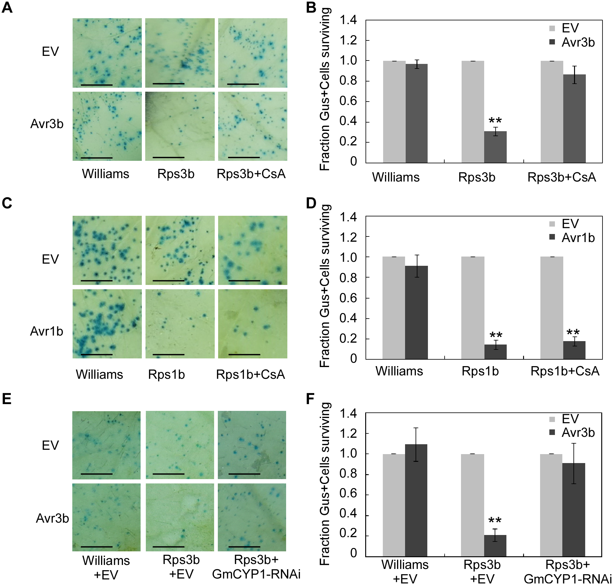 Avr3b recognition in soybean is dependent on the PPlase activity of GmCYP1.