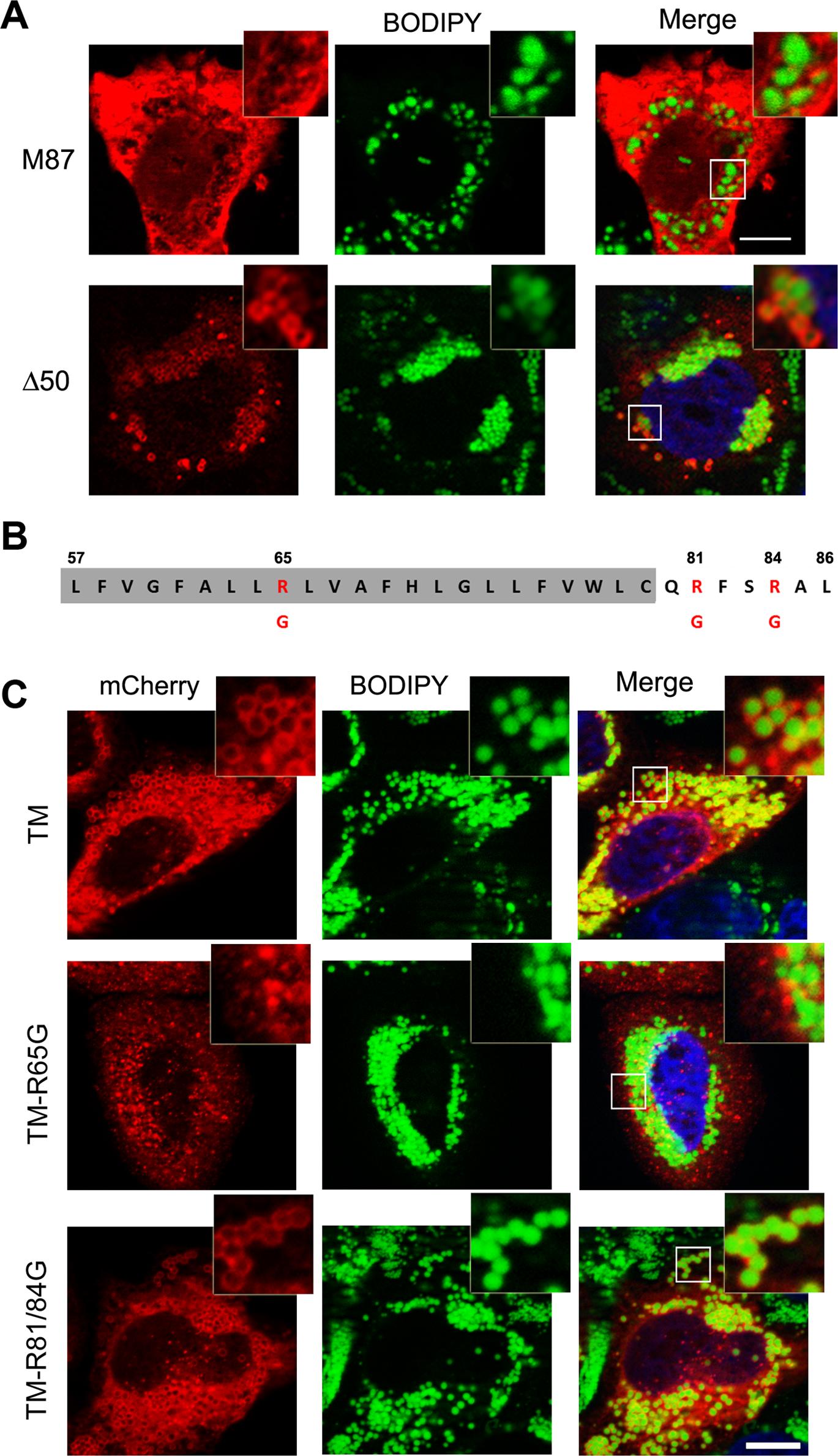 Identification of spastin LD-targeting motif.